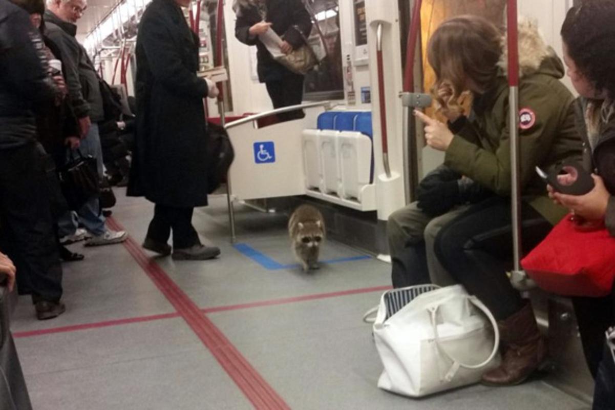 raccoon ttc