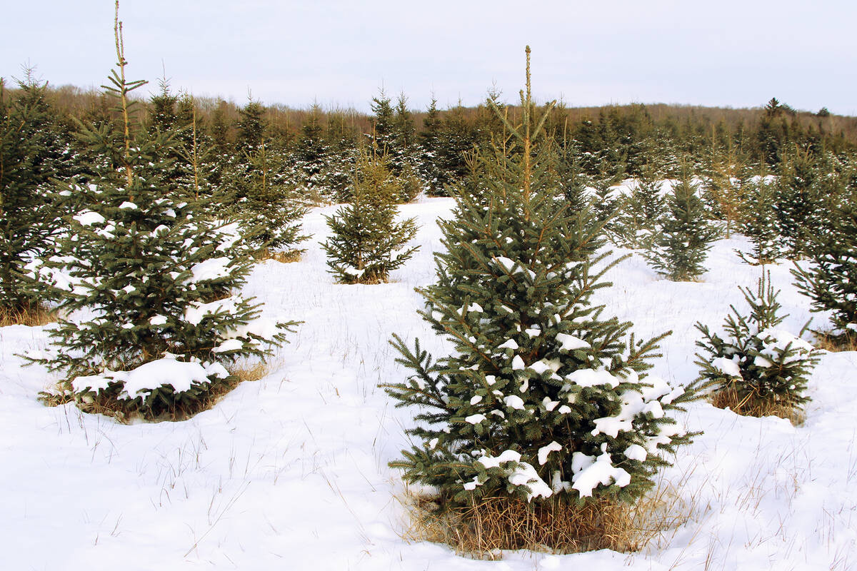 10 farms to cut down your own Christmas tree near Toronto