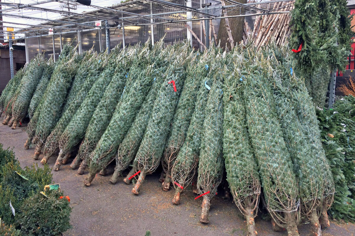 The Top 10 Places To Buy A Christmas Tree In Toronto