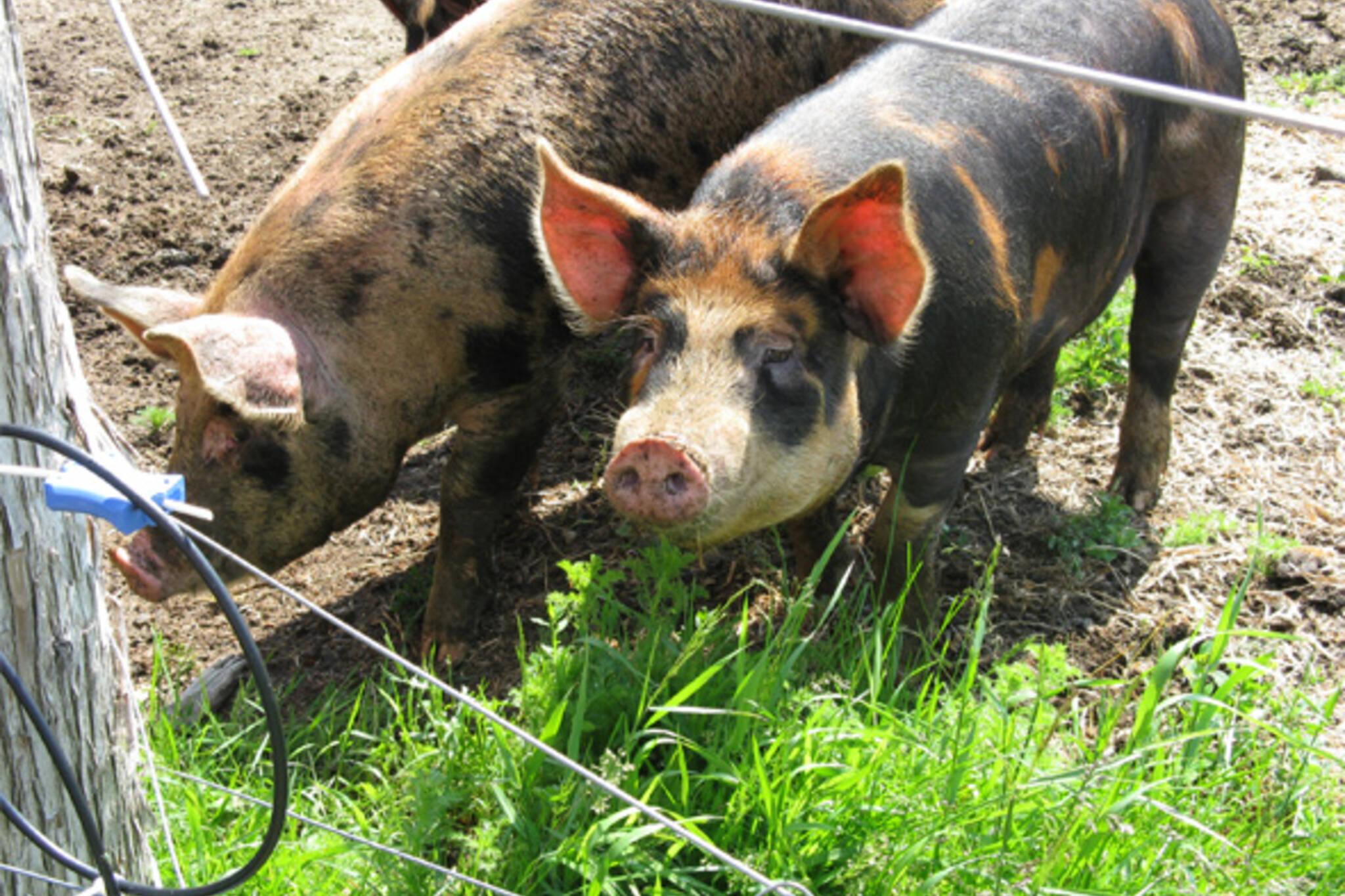 Stoddart Farm Pigs