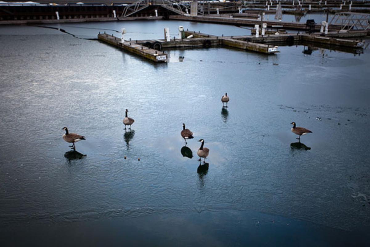 toronto geese