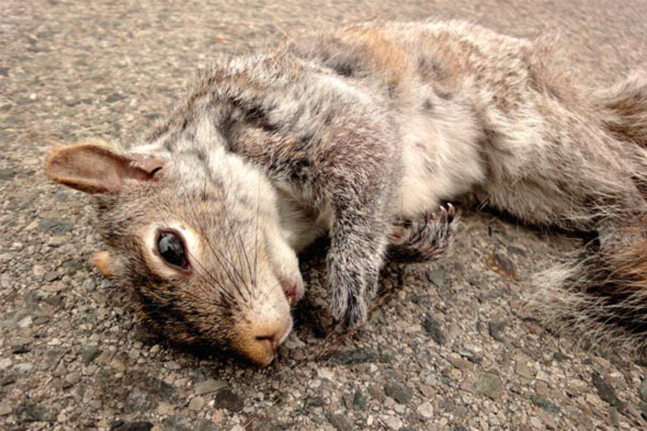 Image result for roadkill squirrel