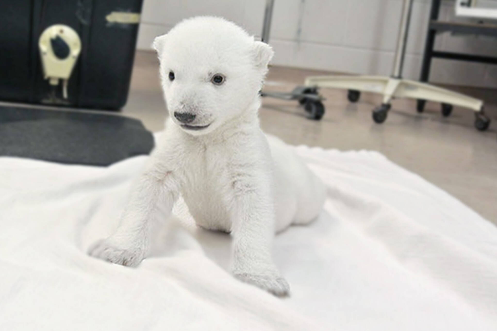 Polar bear cub at the Toronto zoo