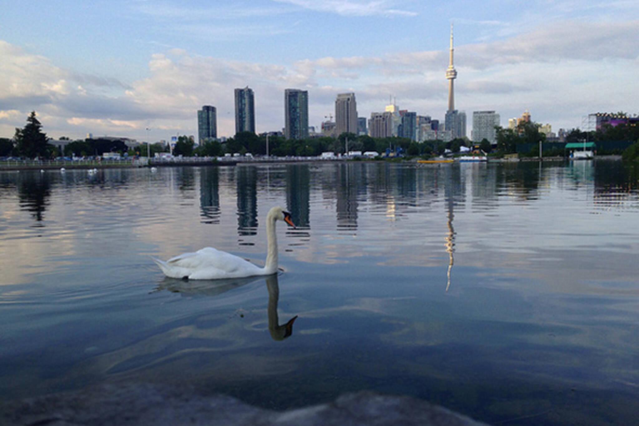 Toronto skyline swan