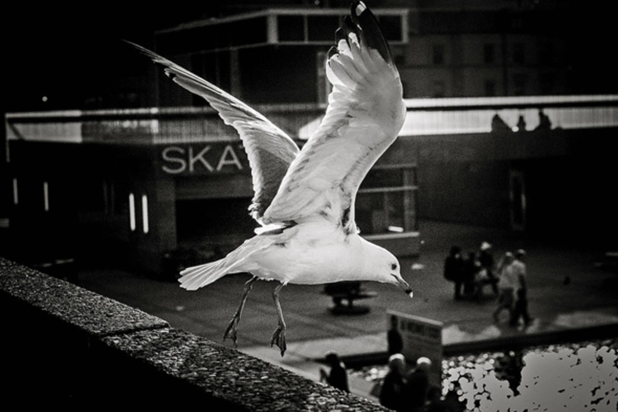 Seagull Toronto
