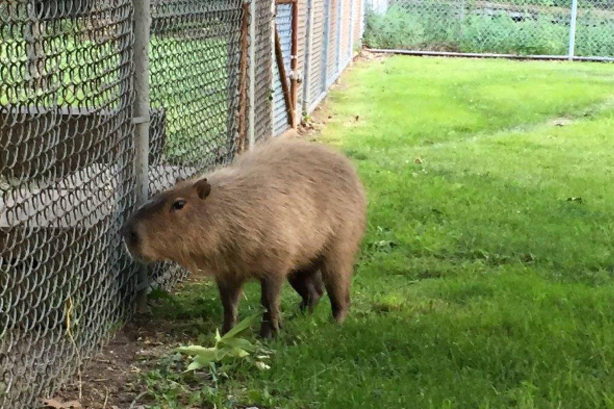 Toronto capybara caught