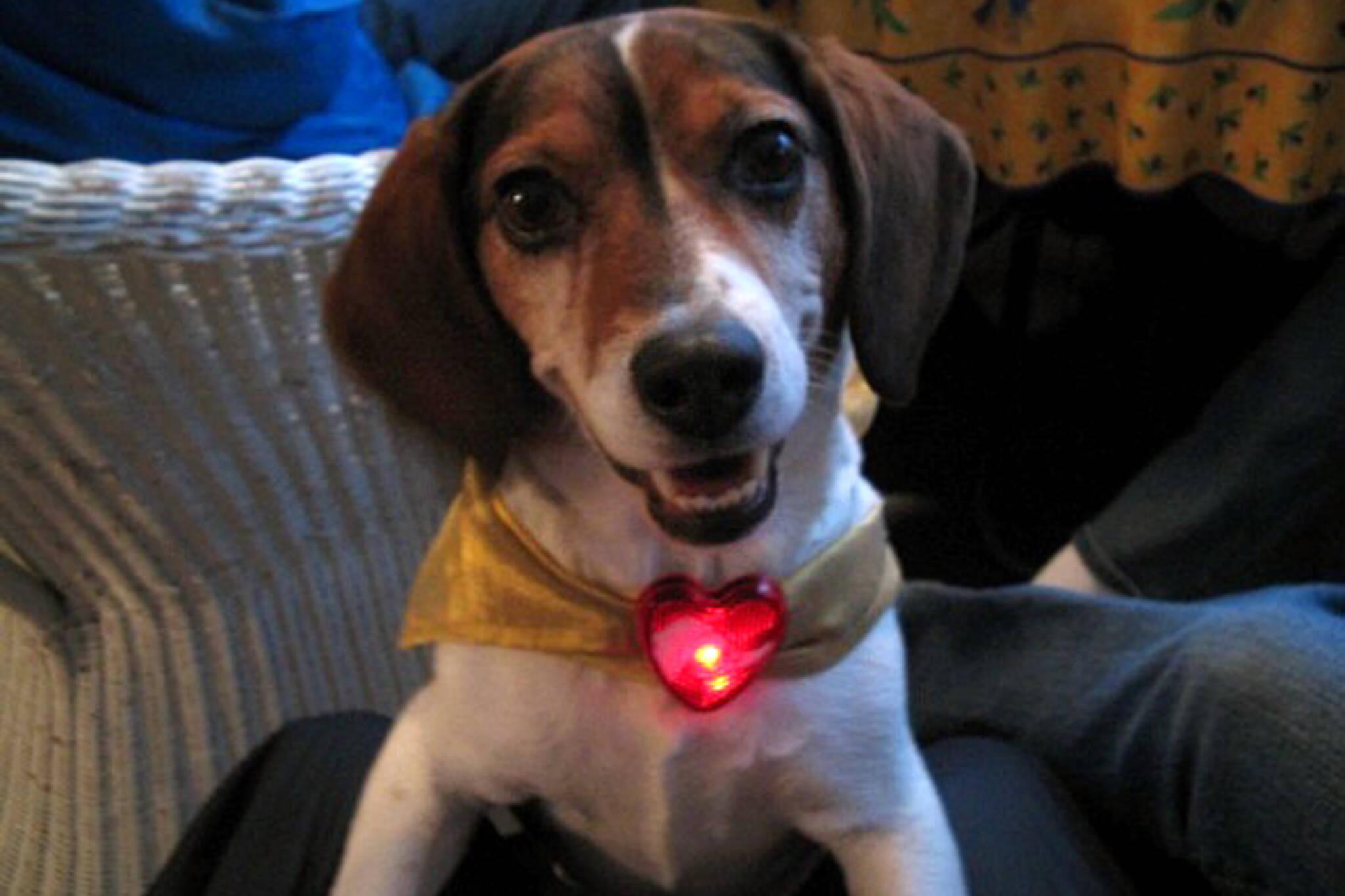Bennie the dog enjoying Christmas