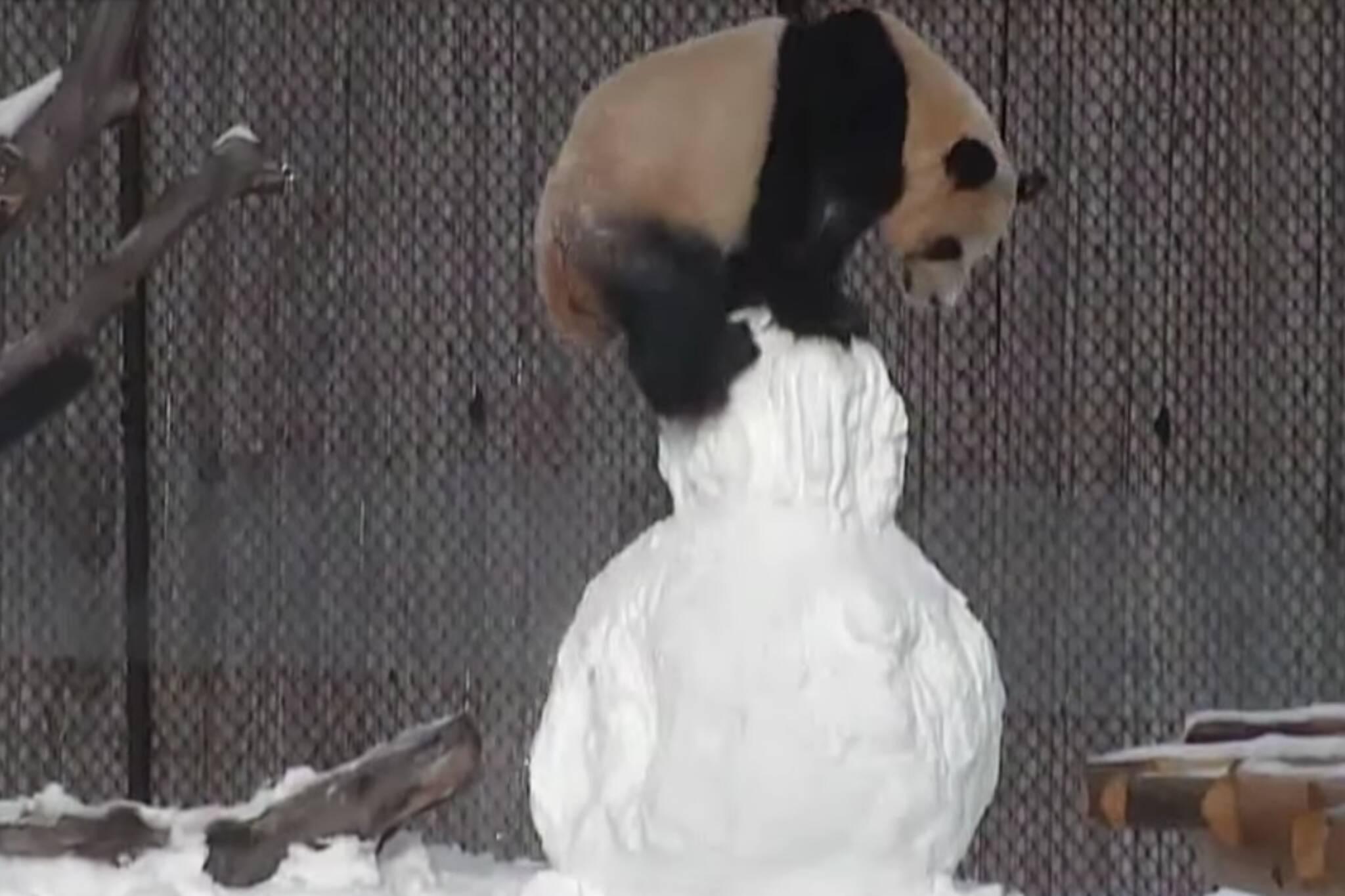 panda toronto snowman