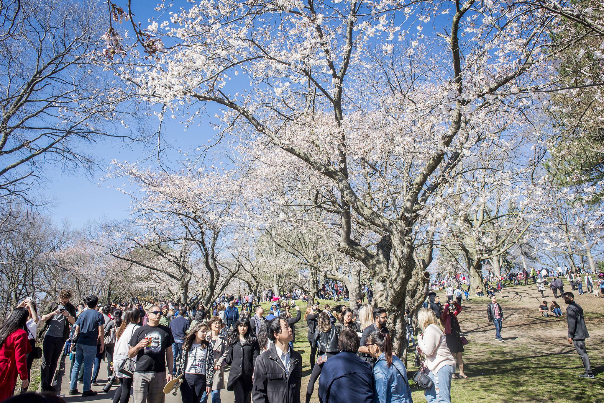 high park cherry blossoms 2018