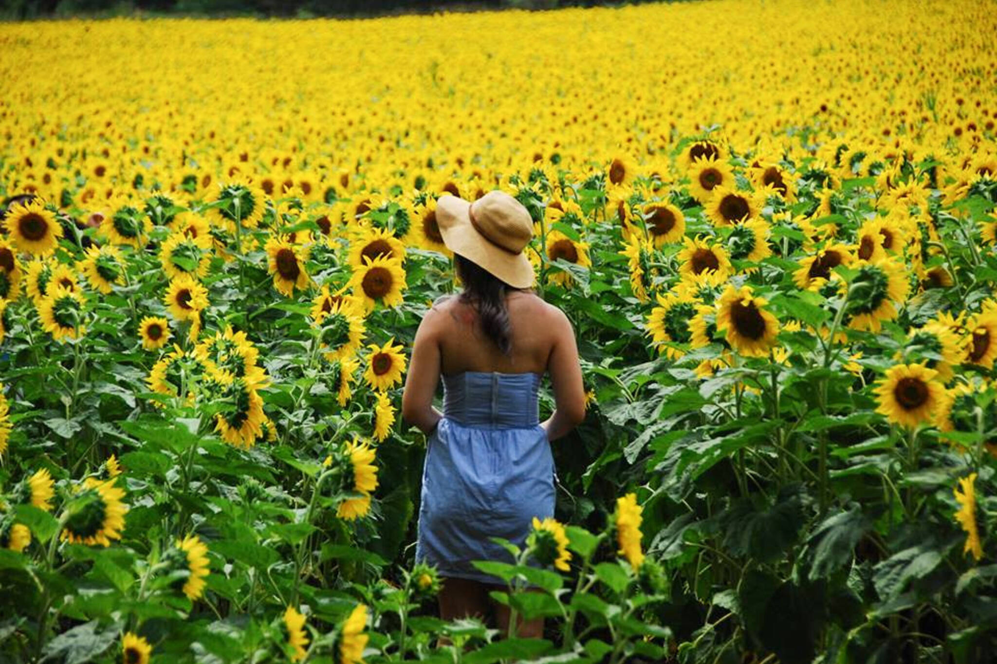 Bogle sunflower farm