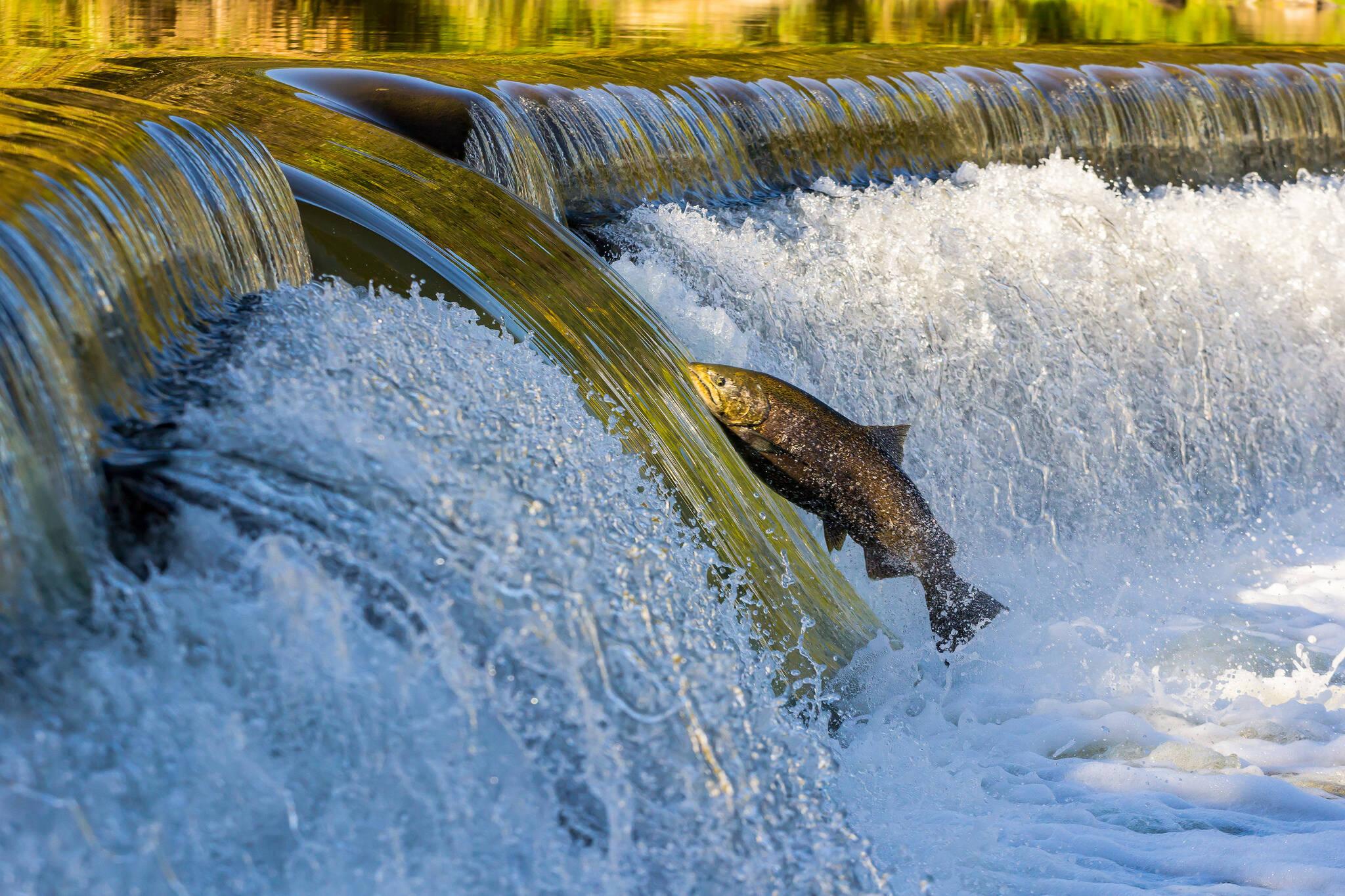 salmon jump toronto