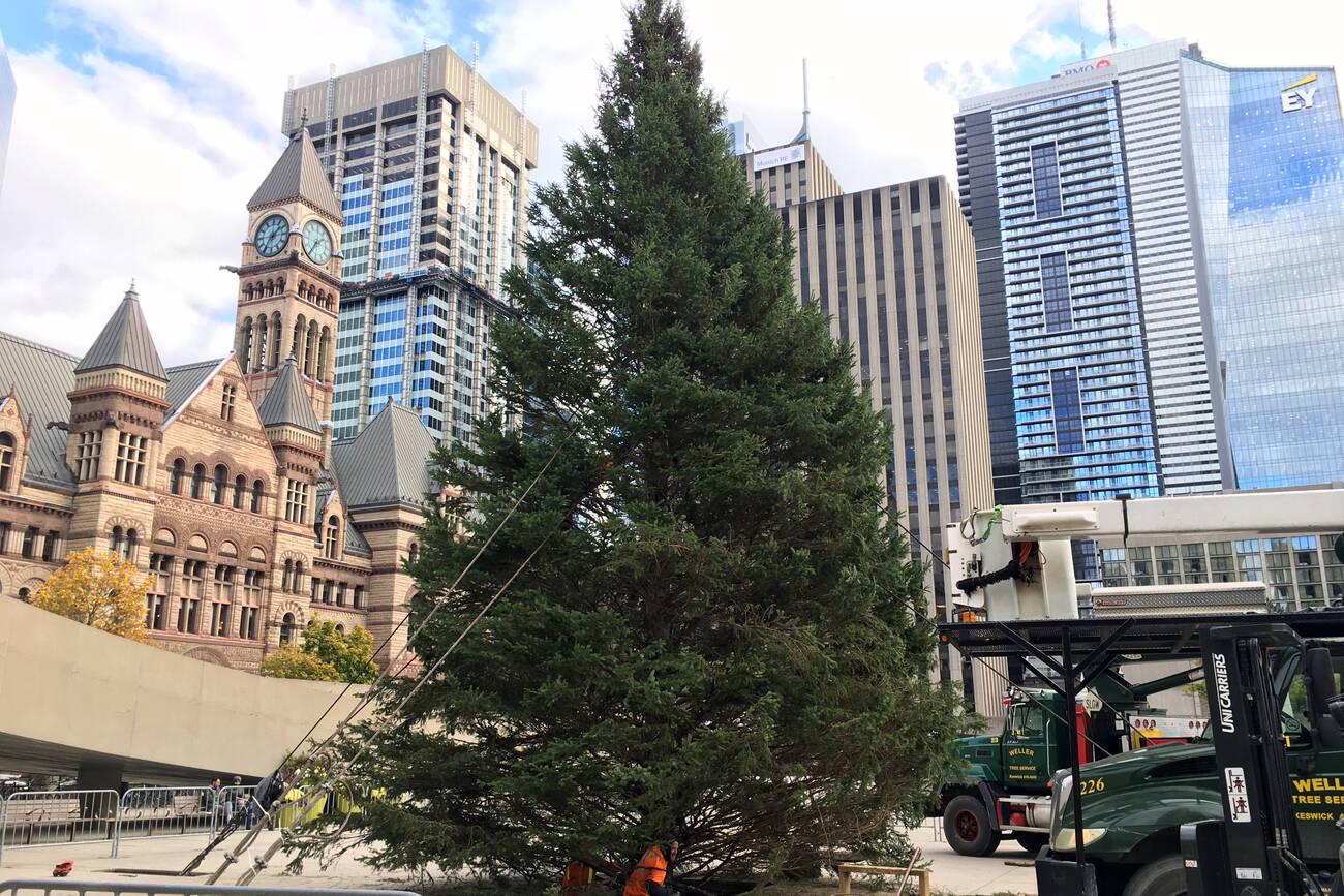 Toronto S Giant Christmas Tree Has Arrived At City Hall