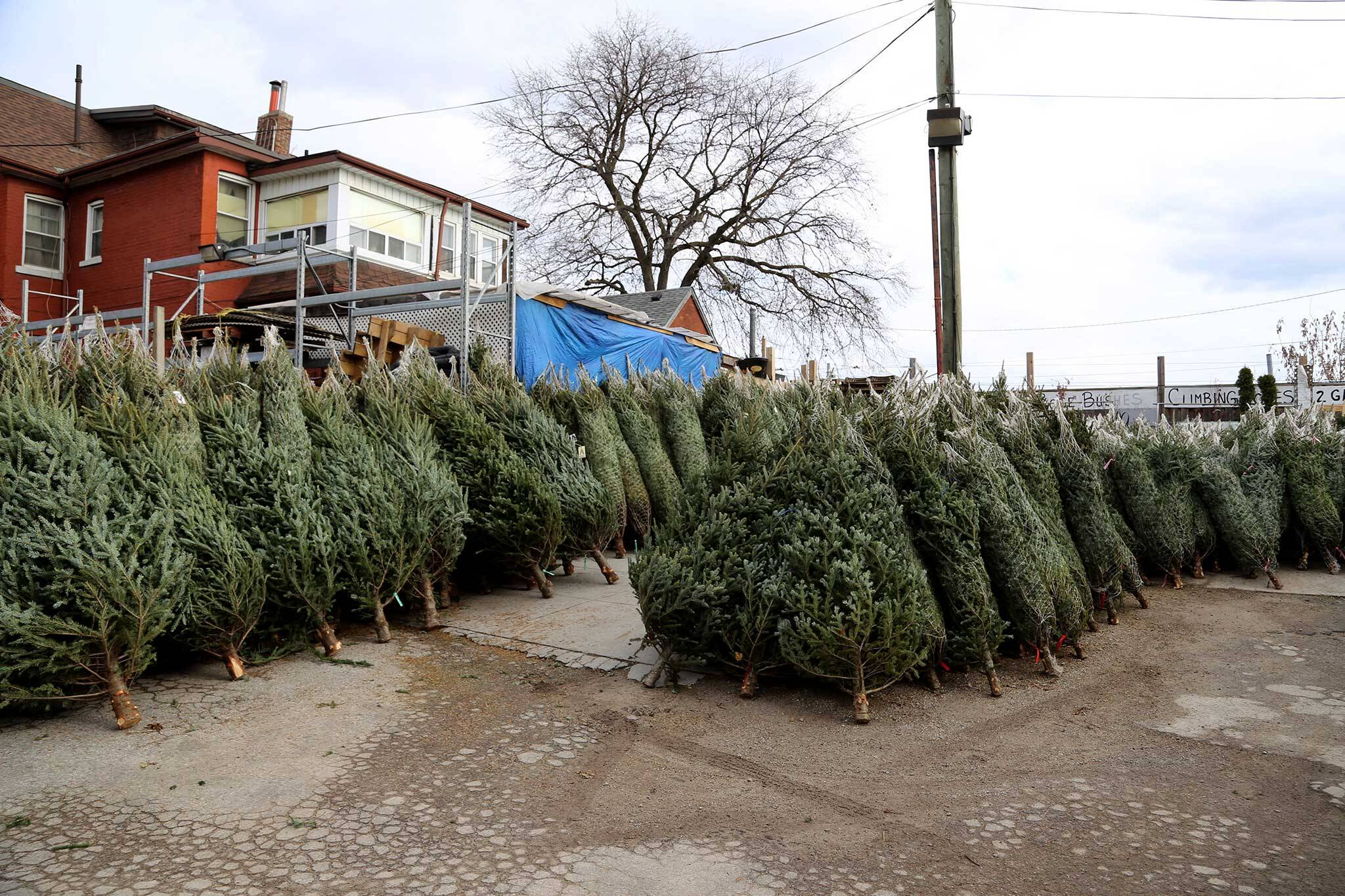 Sparse Christmas Tree Types.The Top 15 Places To Buy A Christmas Tree In Toronto