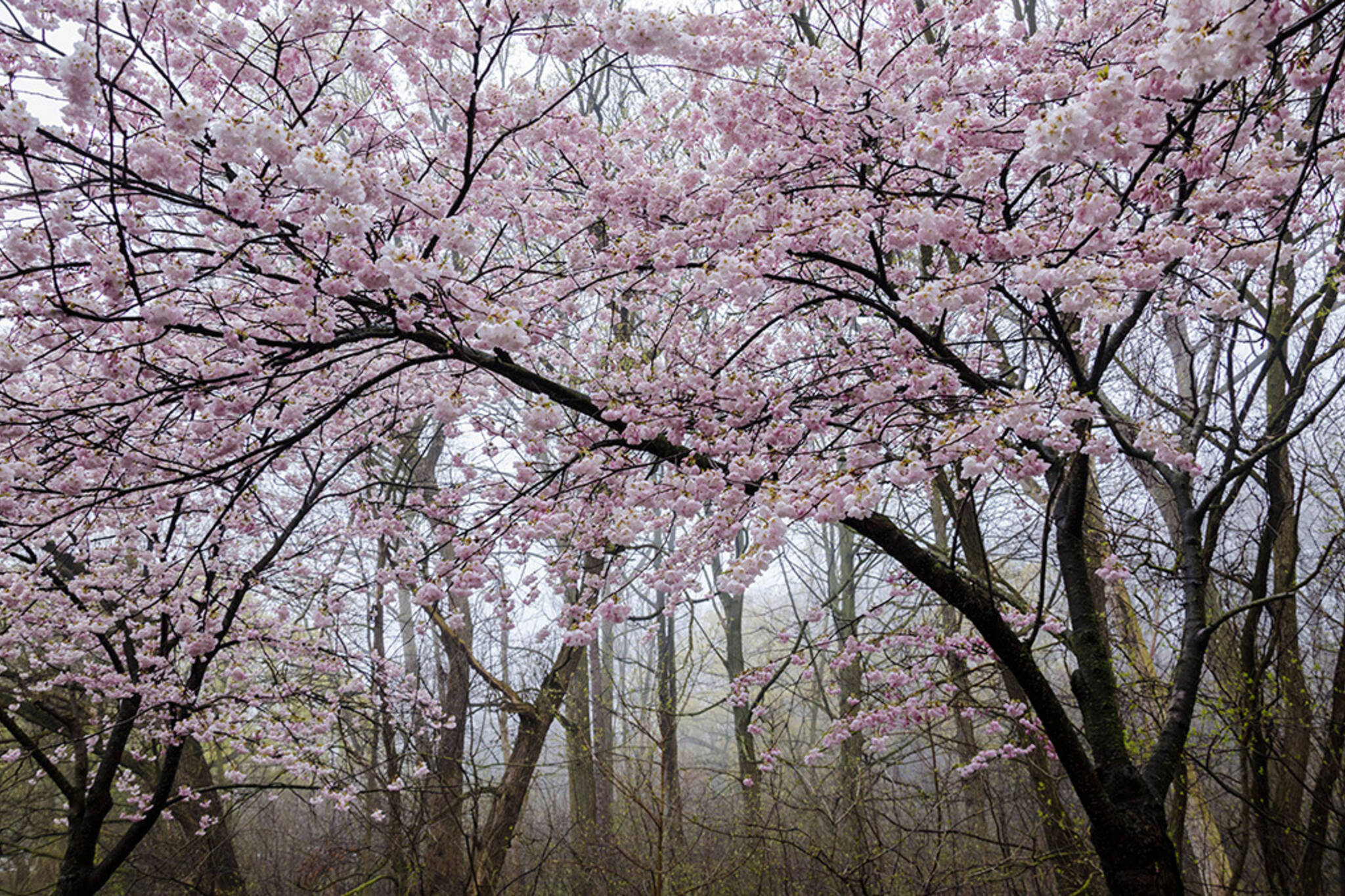 high park cherry blossoms 2017