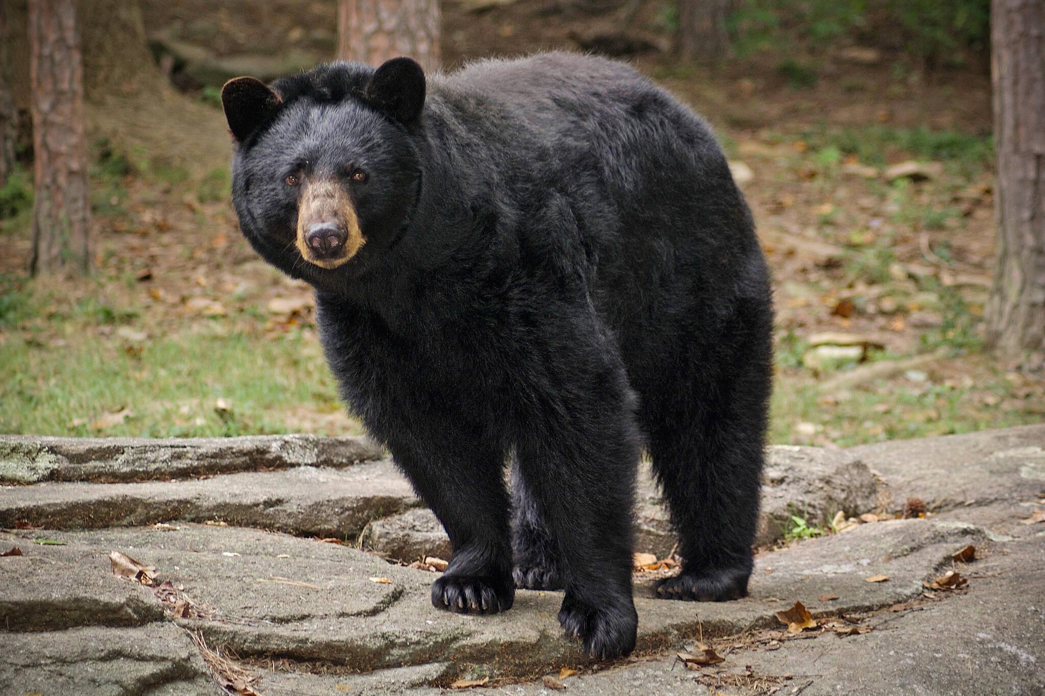 scarborough bear