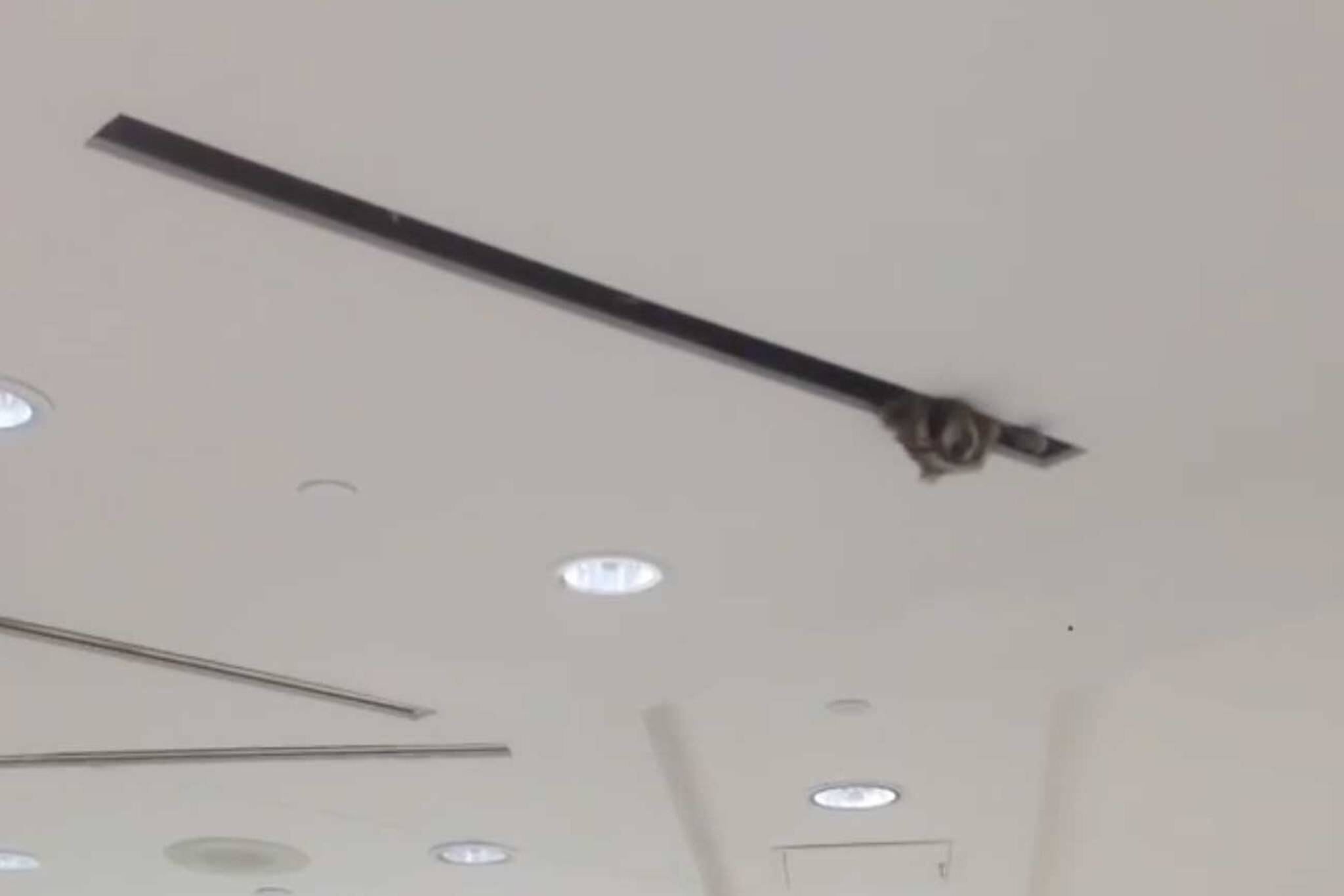 toronto airport raccoon