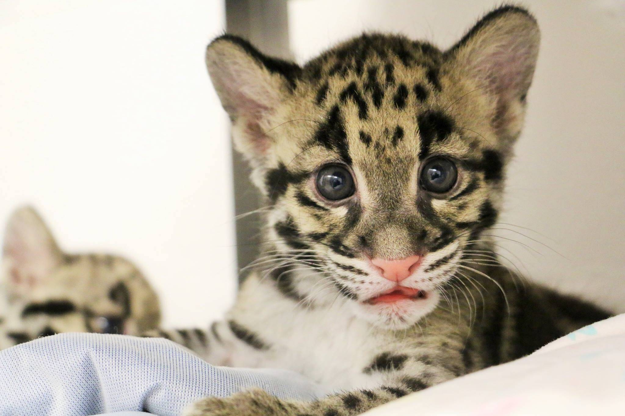 toronto zoo s clouded leopard cubs are reaching peak cuteness