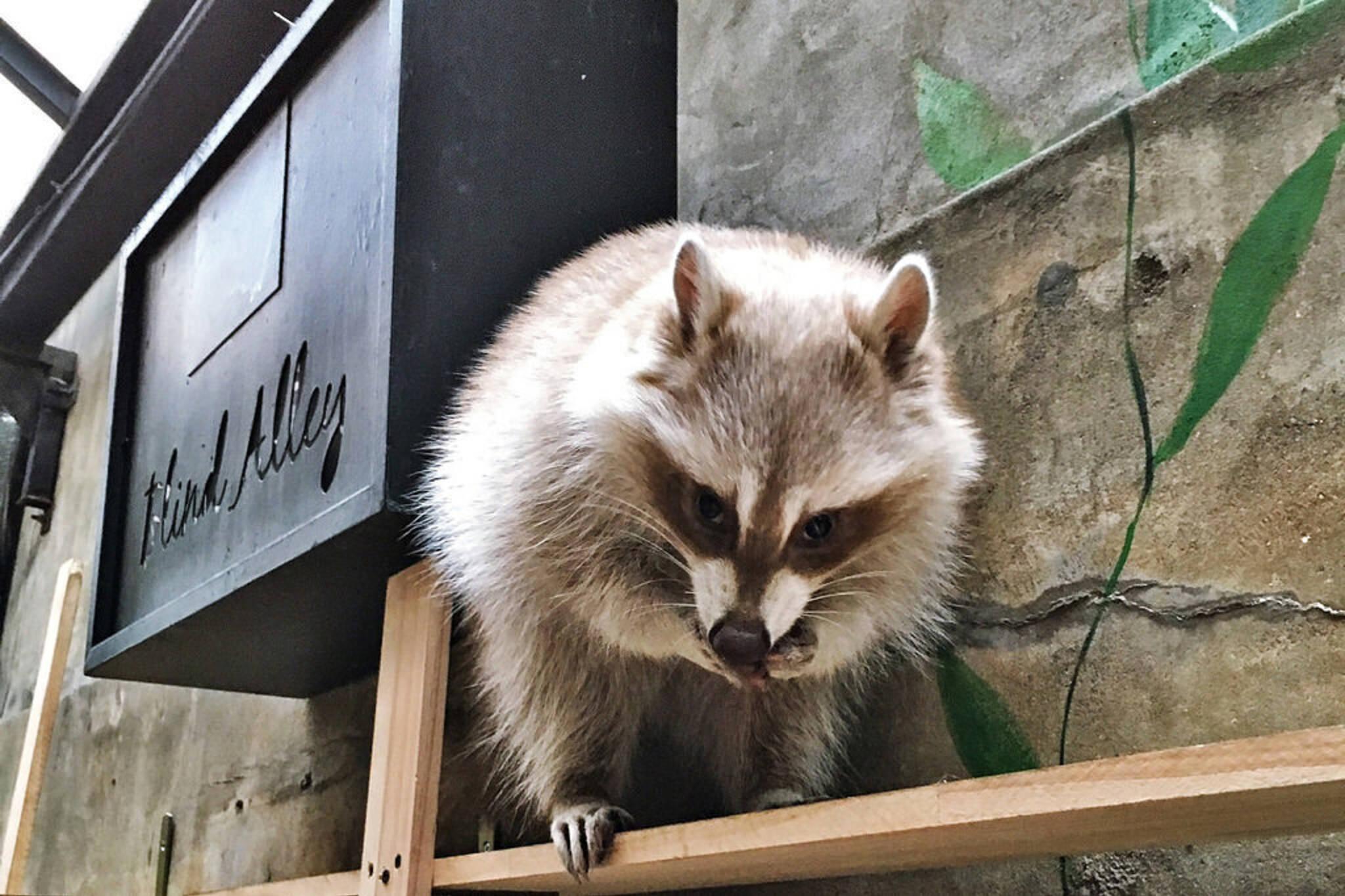 raccoon cafe toronto