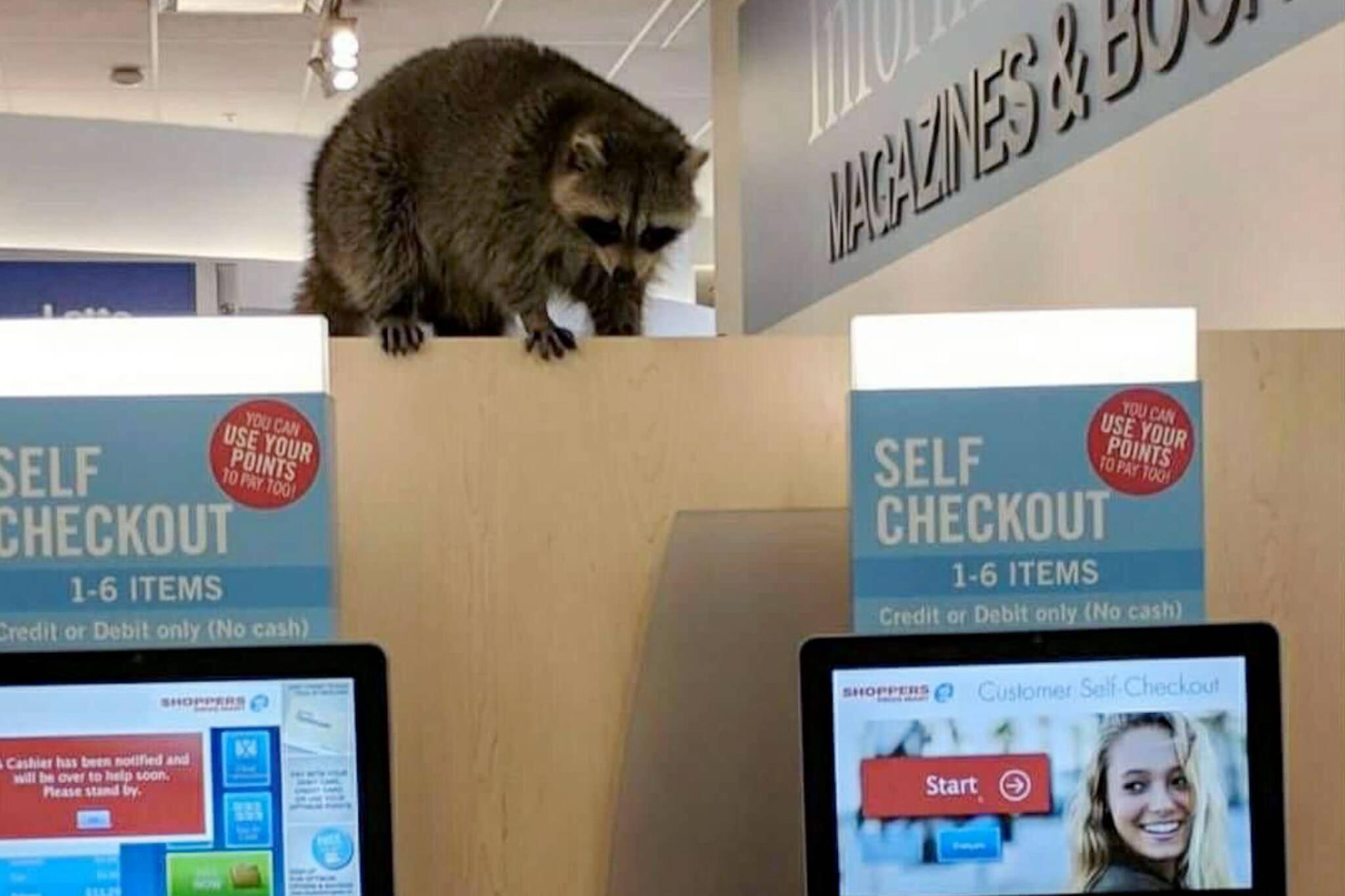 Toronto Raccoon Shoppers