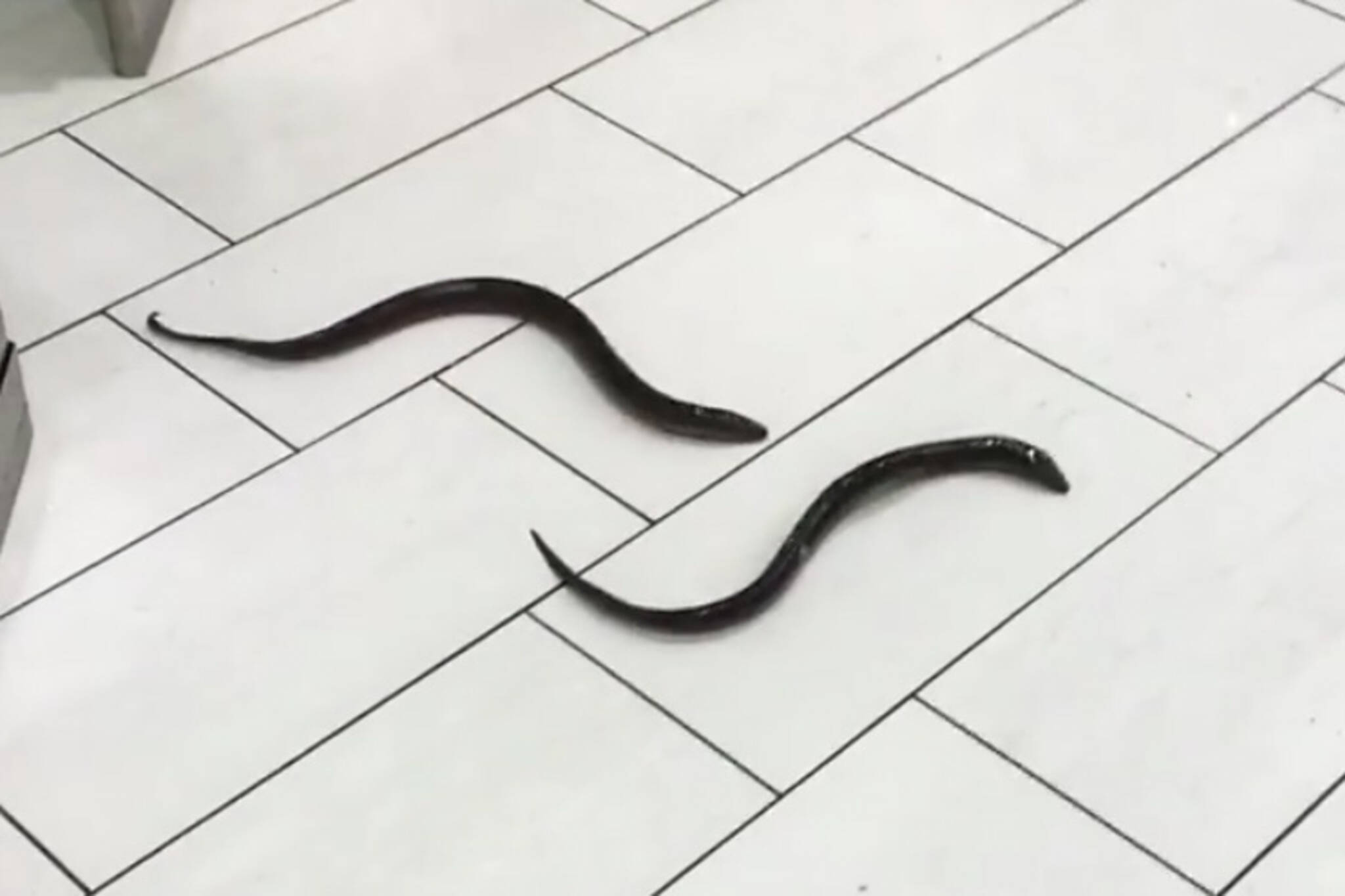 Scarborough bathroom eels