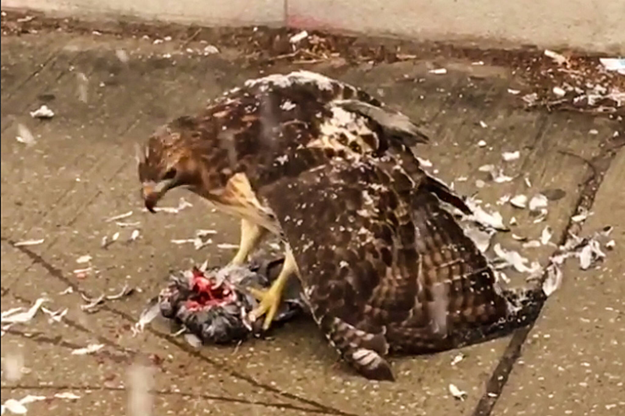Hawk eating pigeon toronto