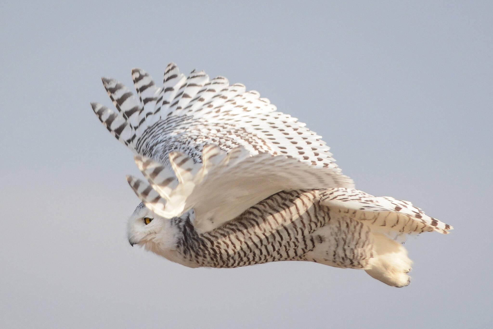 Snowy Owls Toronto
