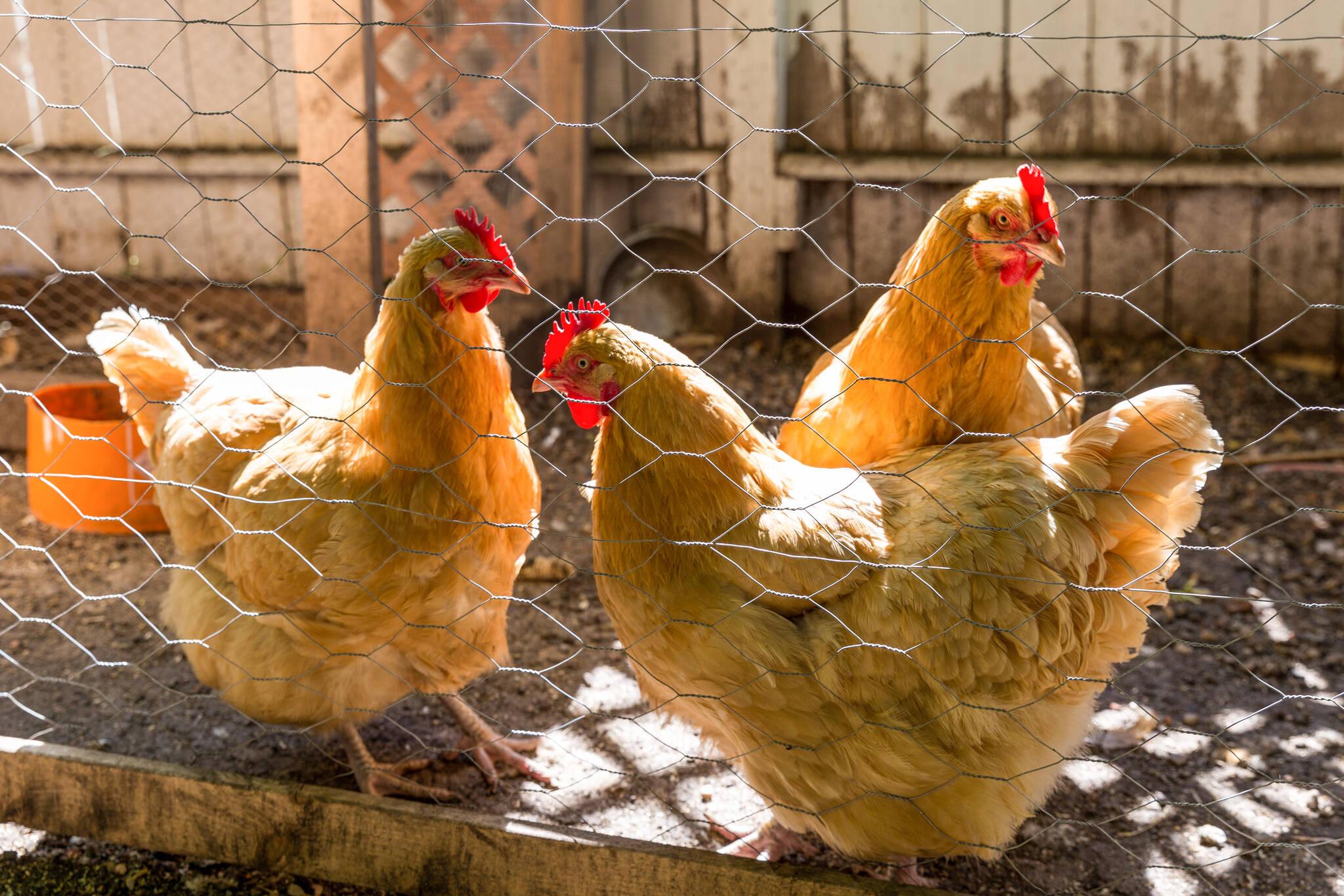Toronto backyard hens