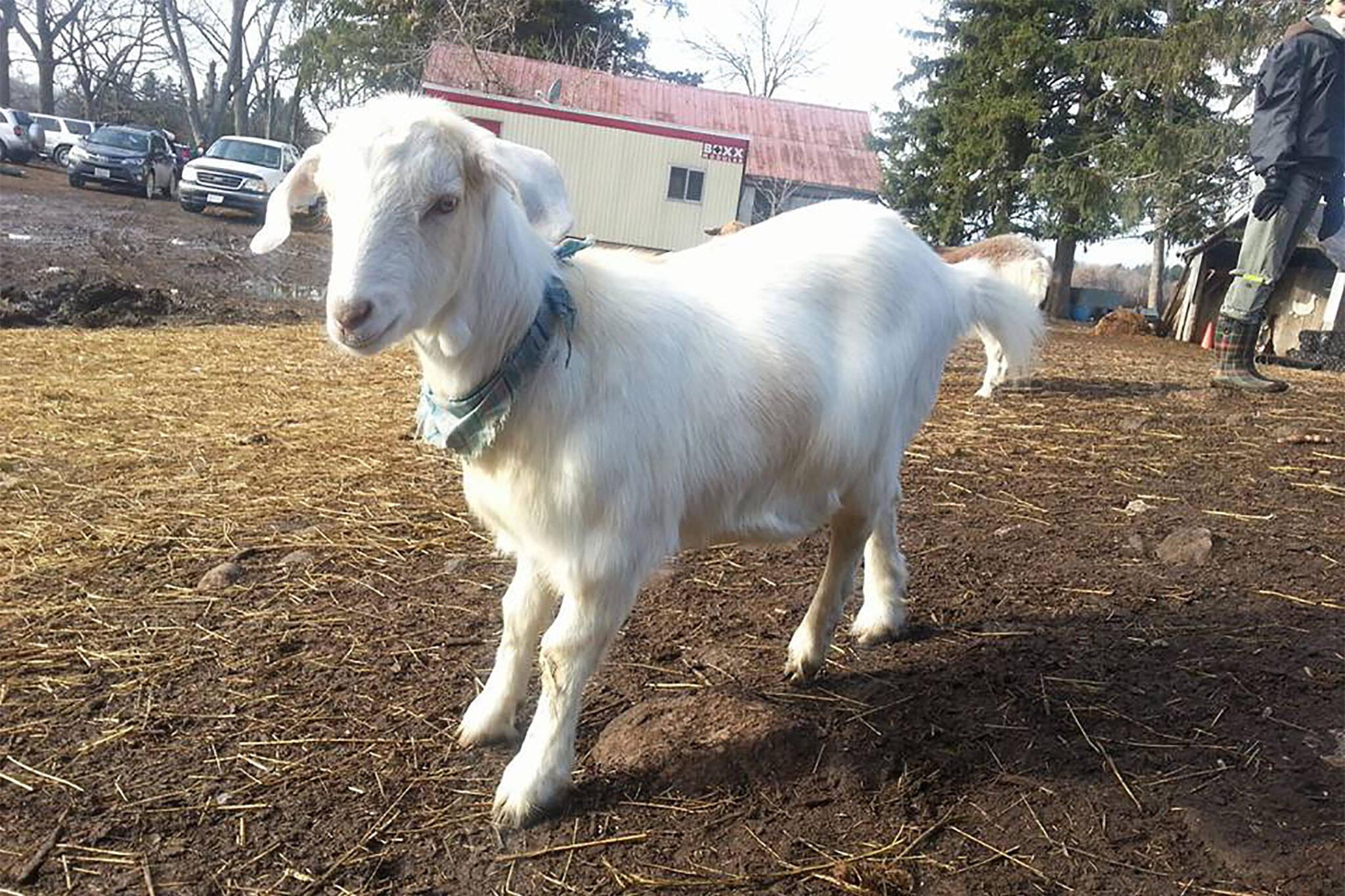 goat yoga toronto