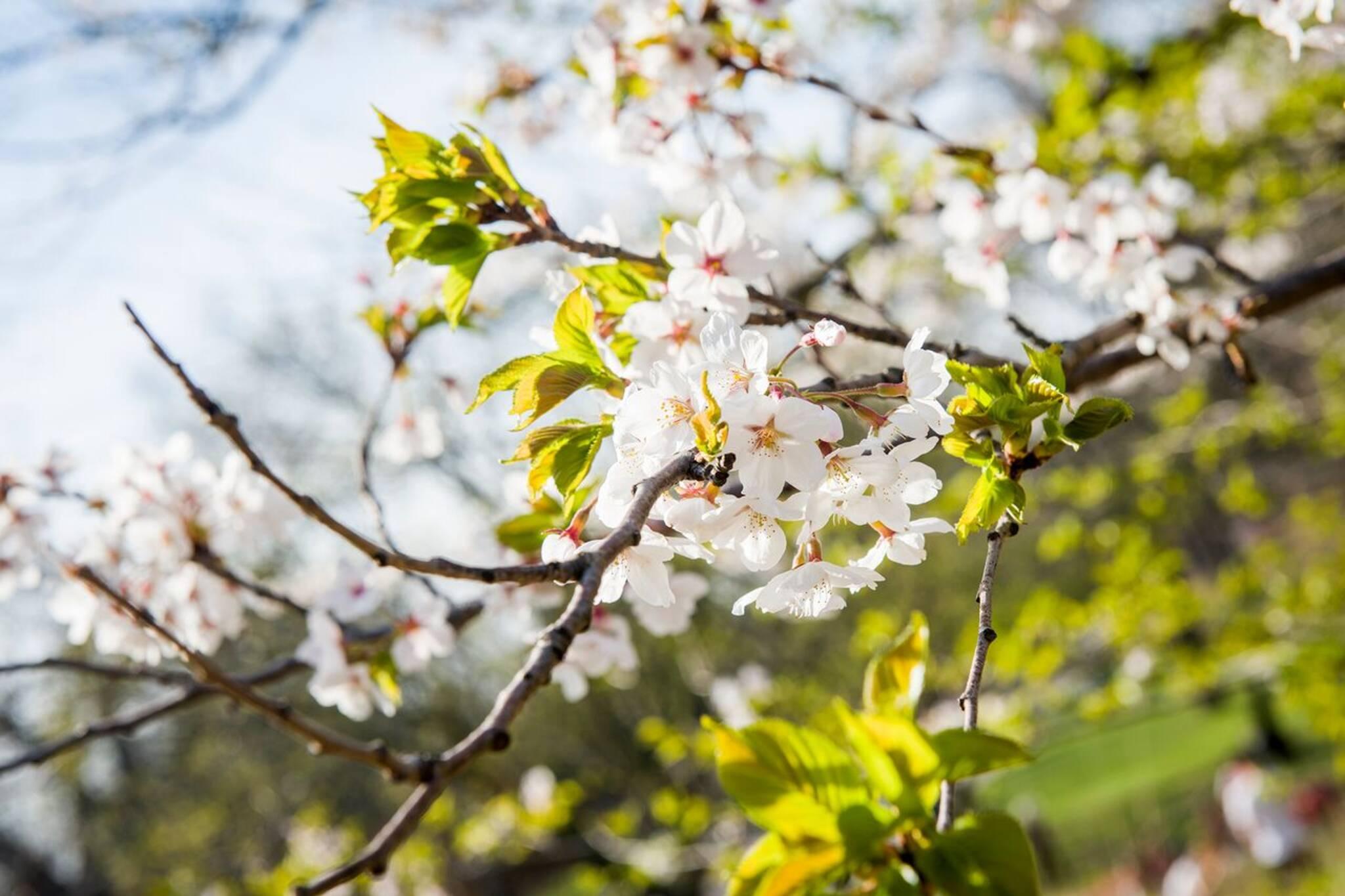 markham cherry blossoms