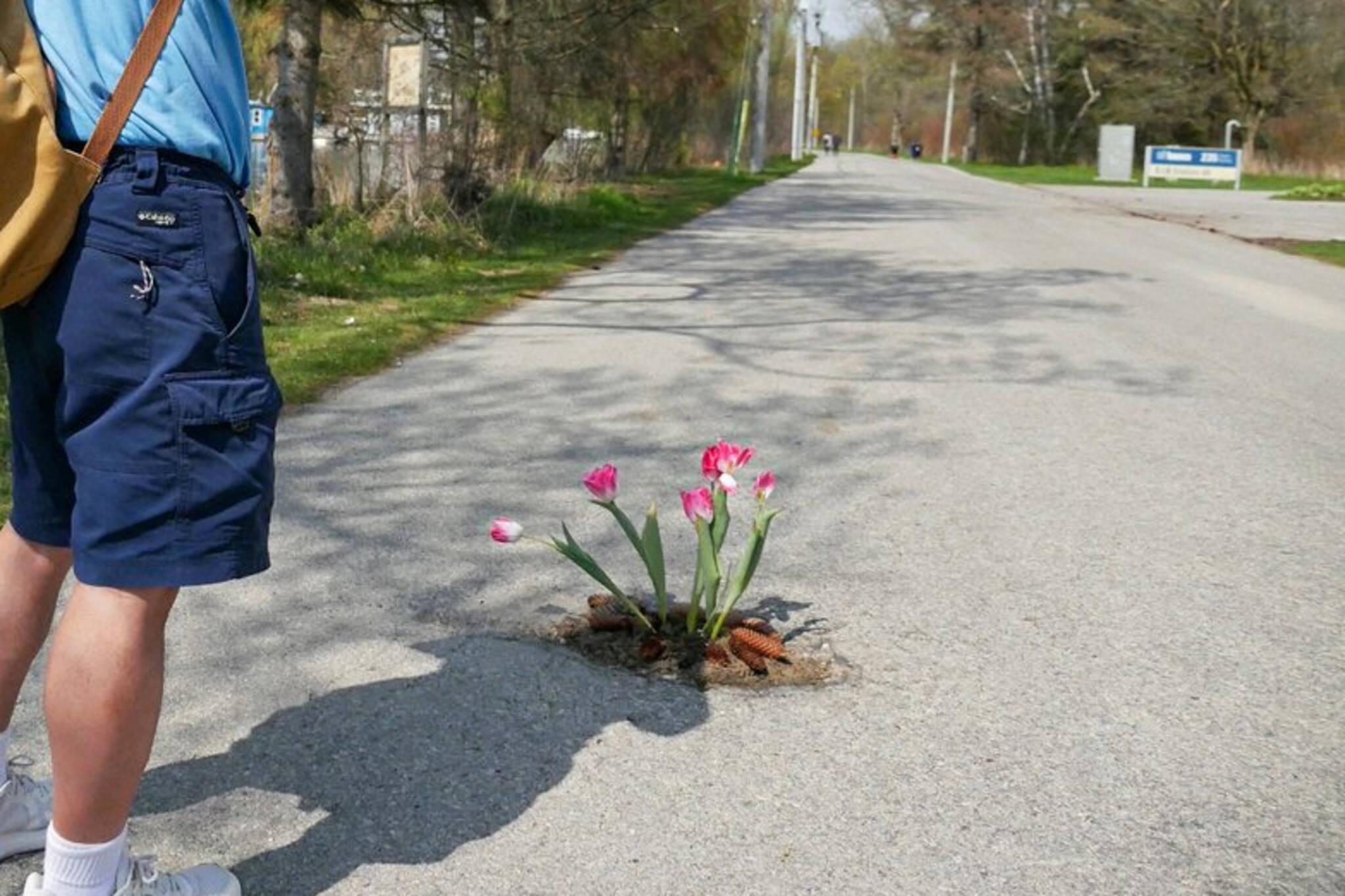 toronto pothole flowers