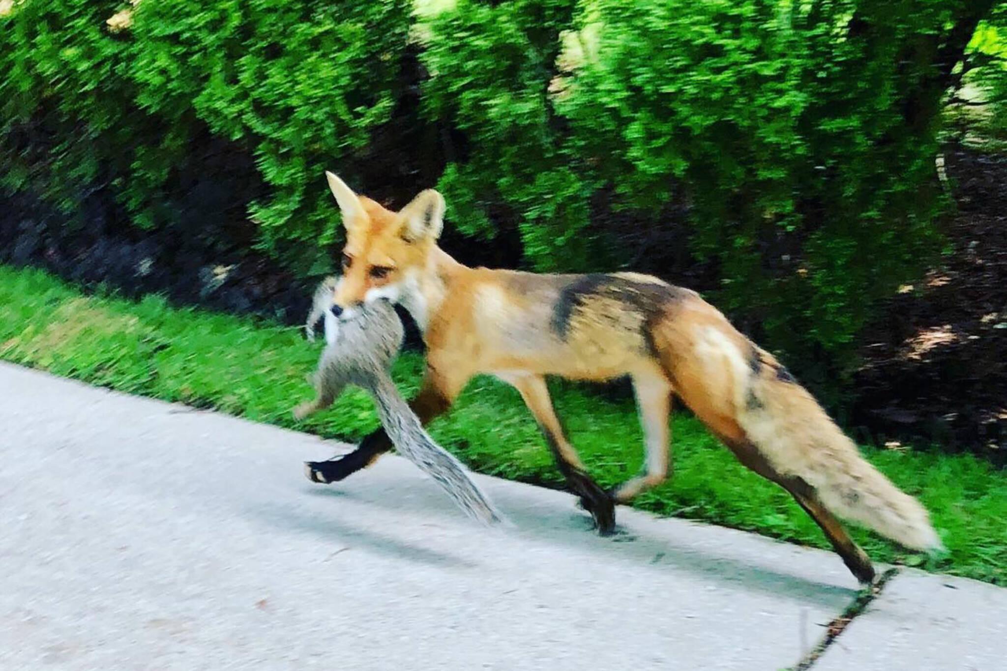fox squirrel toronto