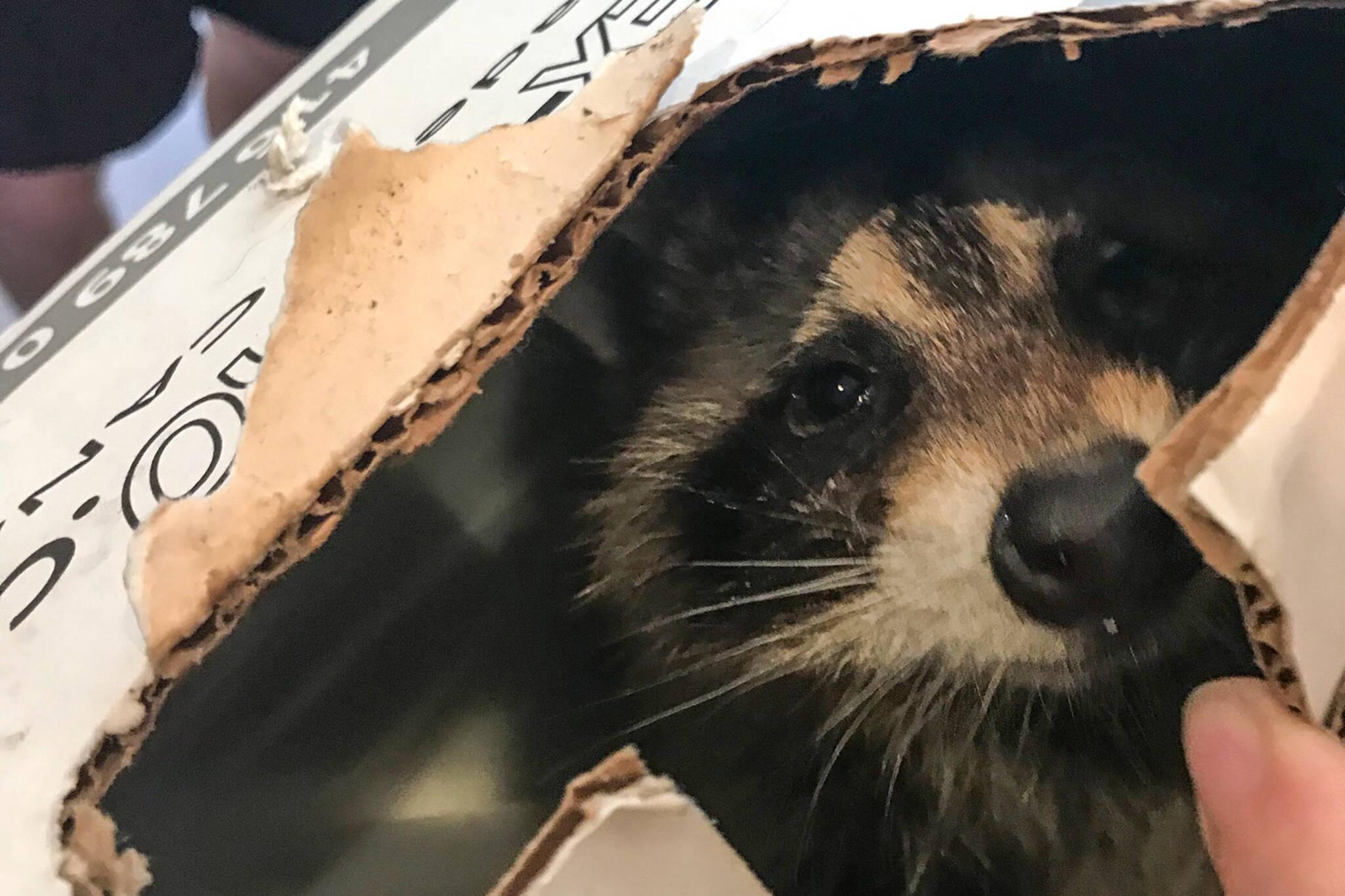 baby raccoon toronto