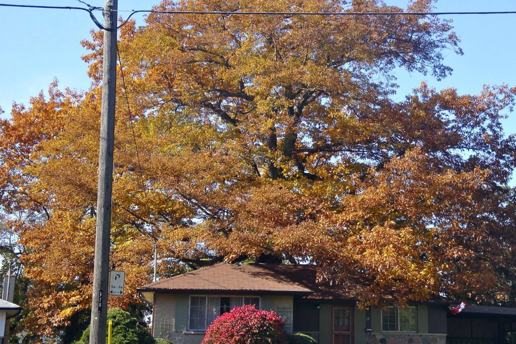 toronto old oak tree