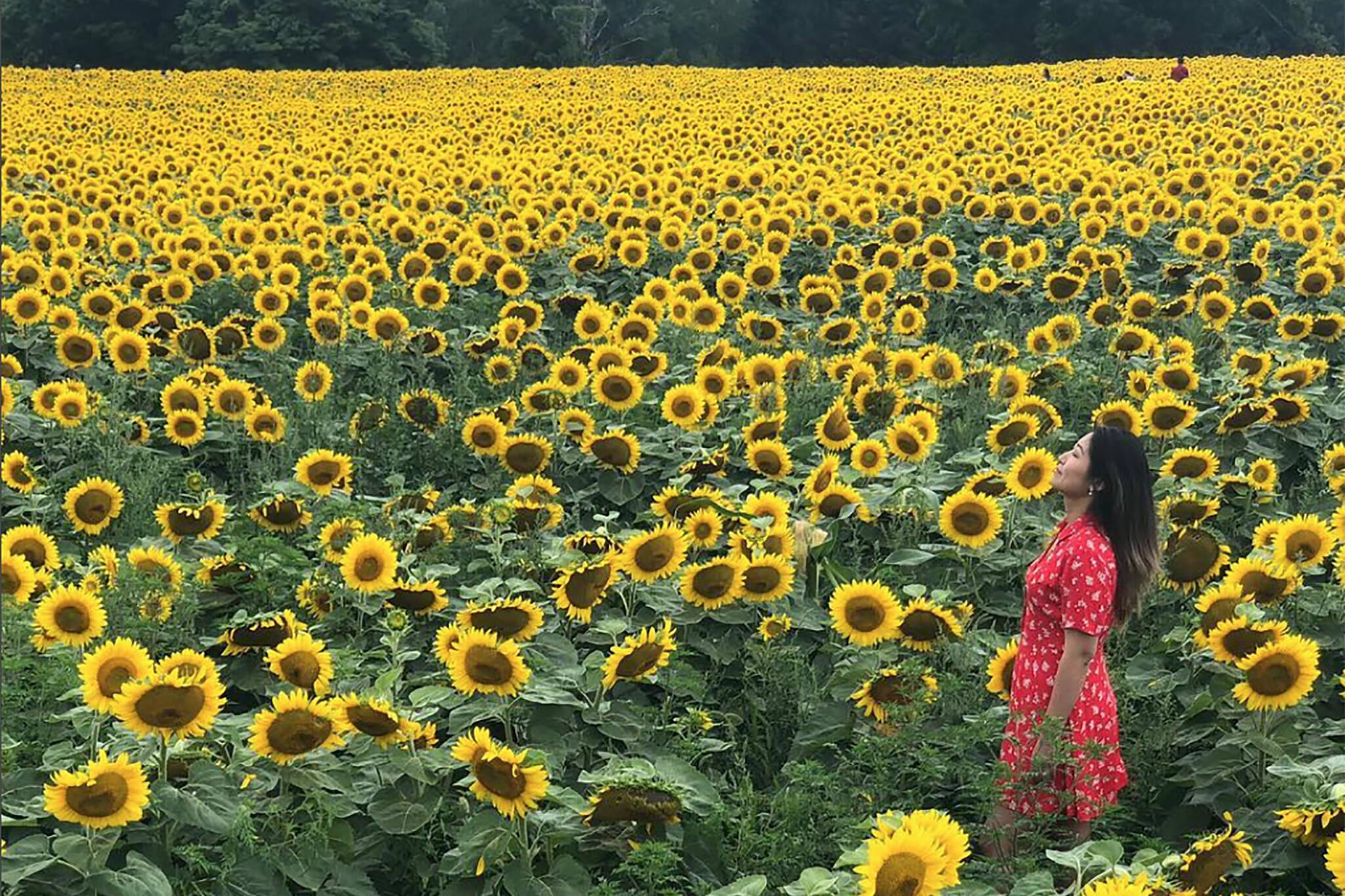 sunflower field toronto