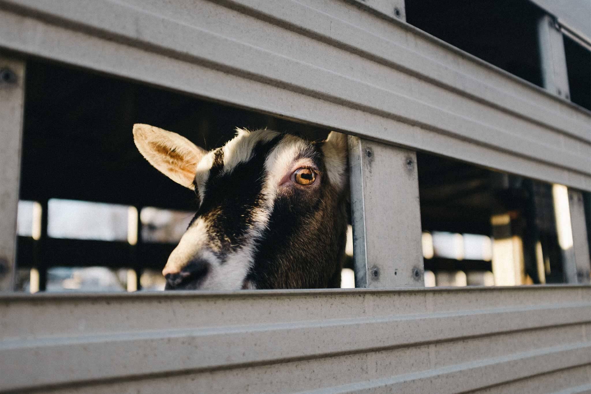 goat dvp toronto