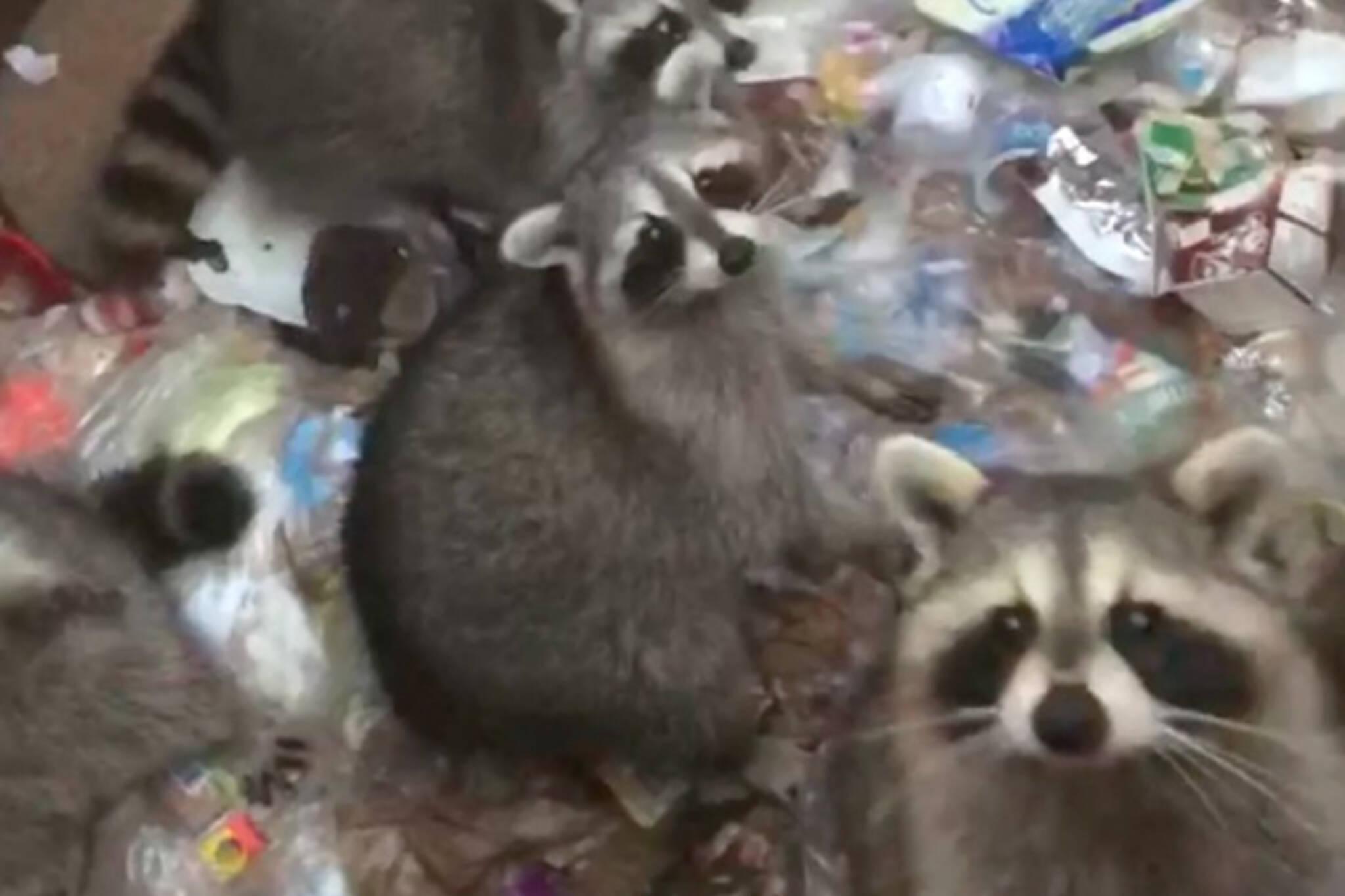 Toronto raccoons dumpster
