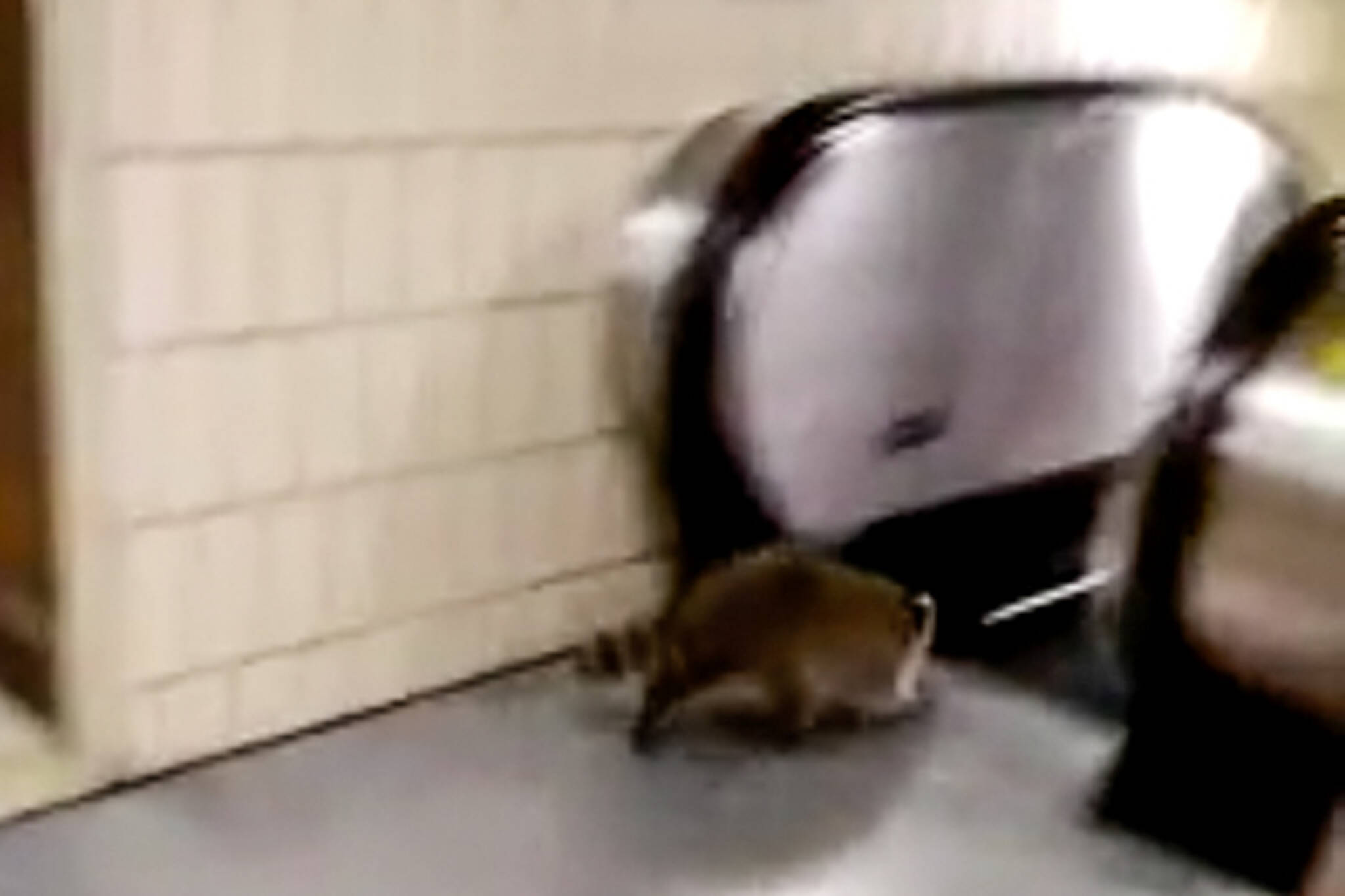 toronto raccoon escalator