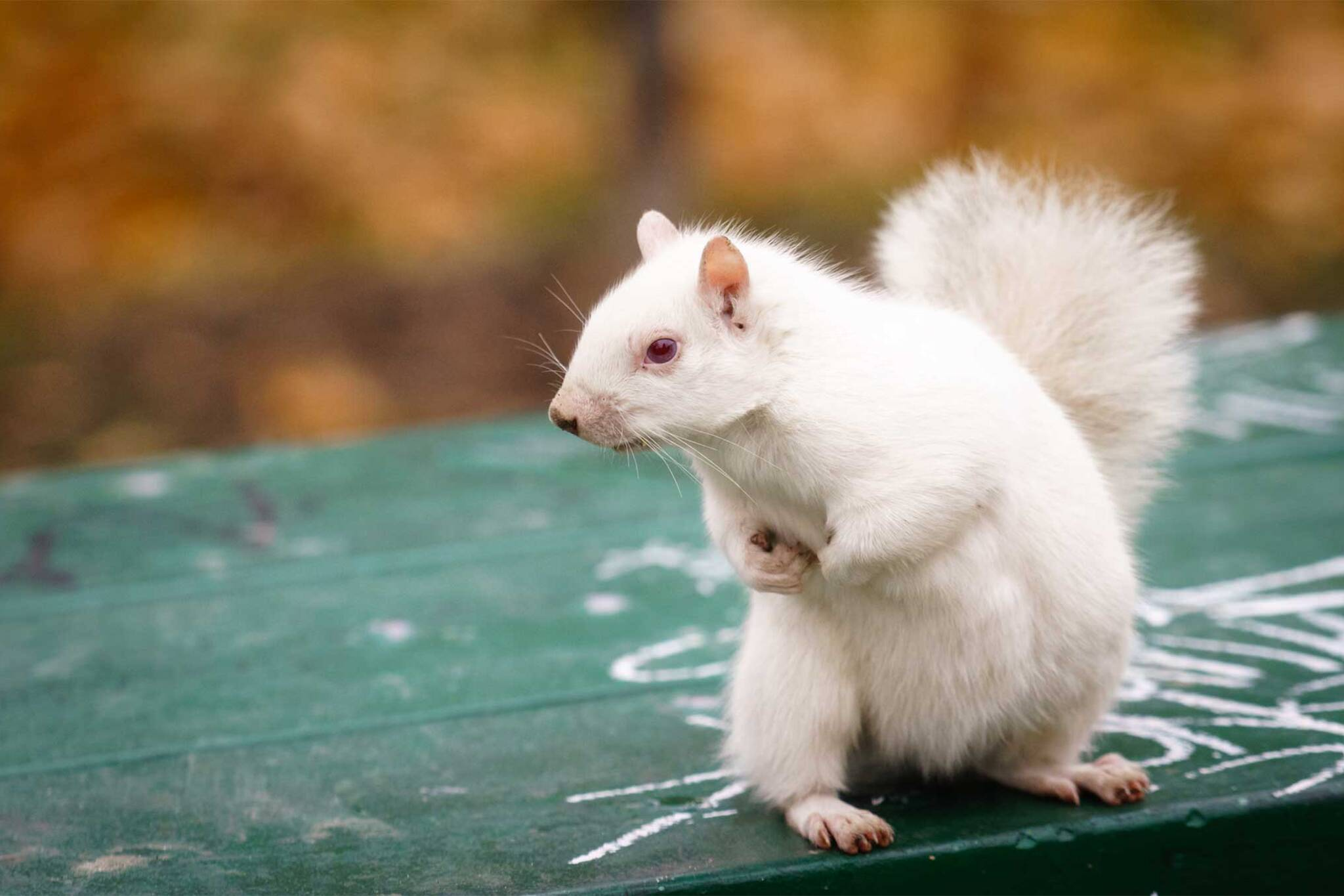 Toronto\'s famous white squirrel isn\'t going extinct