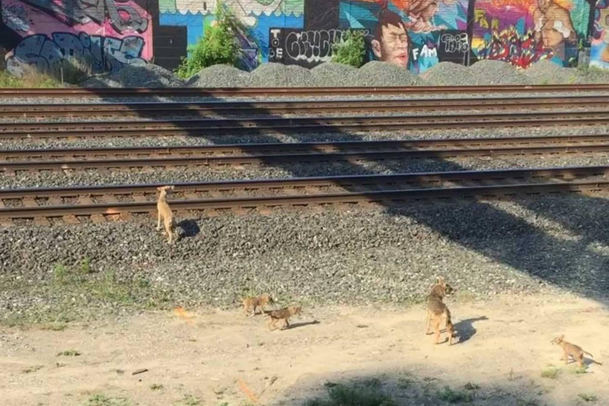 coyote pups toronto
