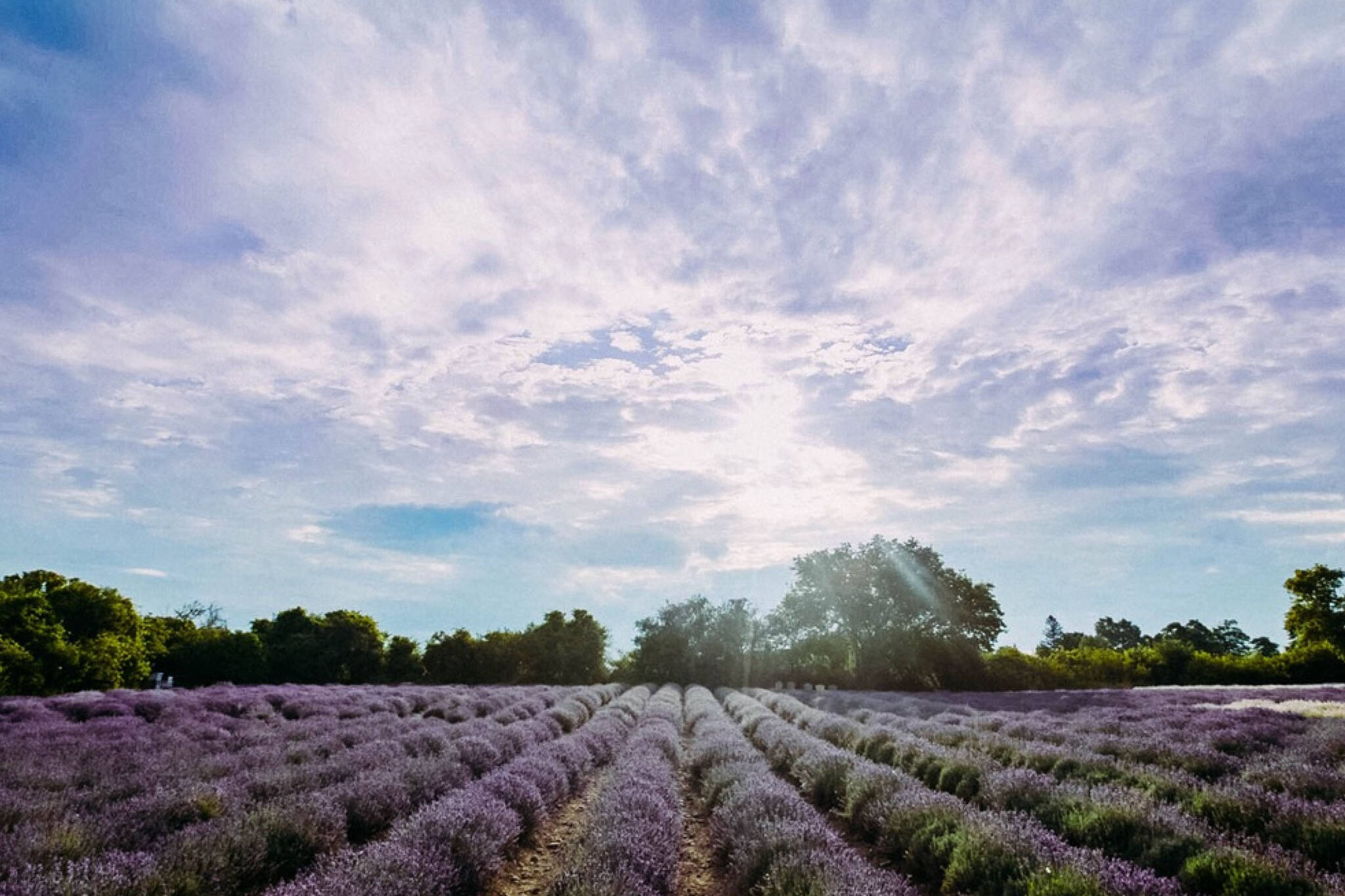 Lavender Farm ontario