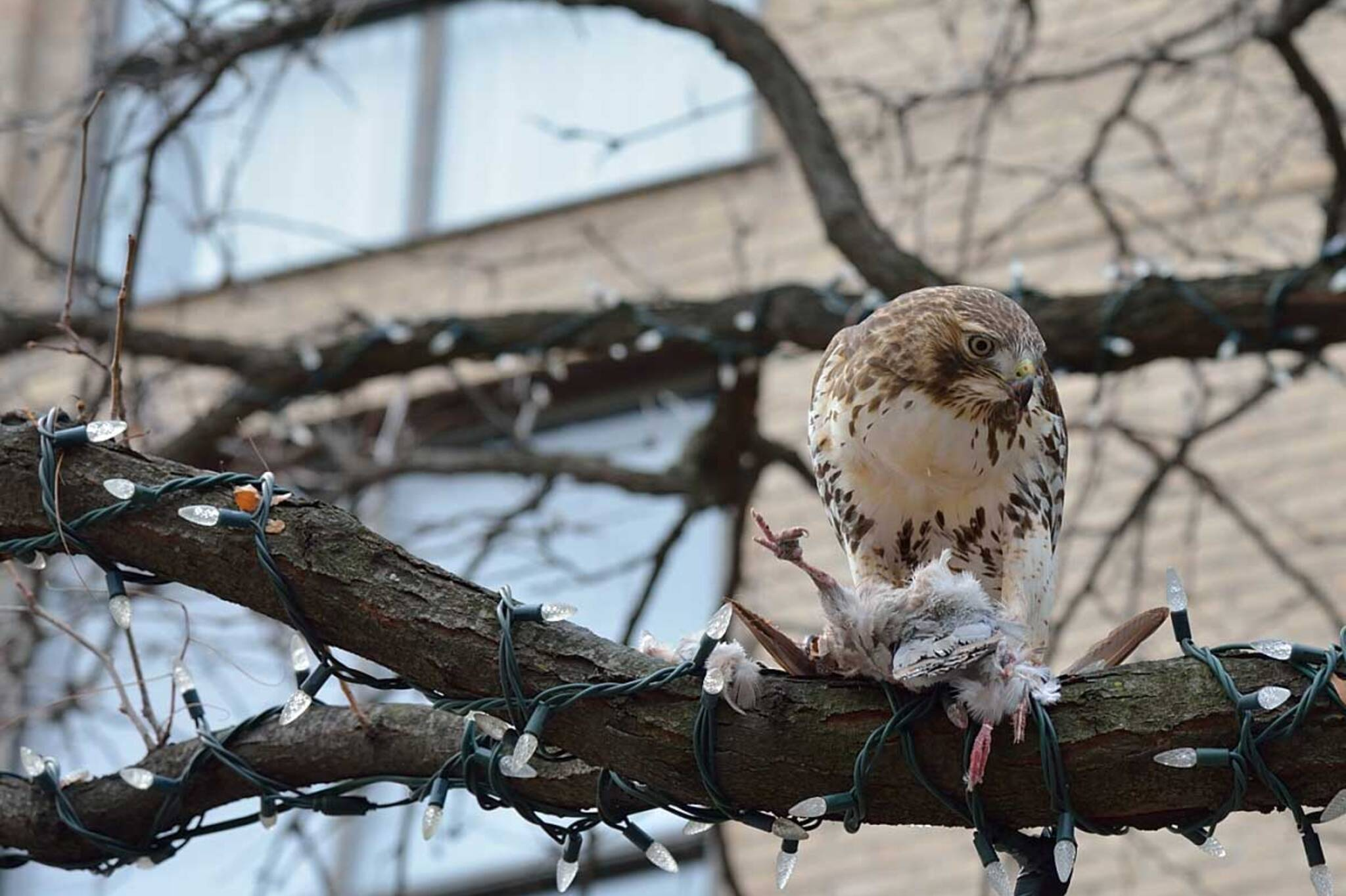 Toronto hawk