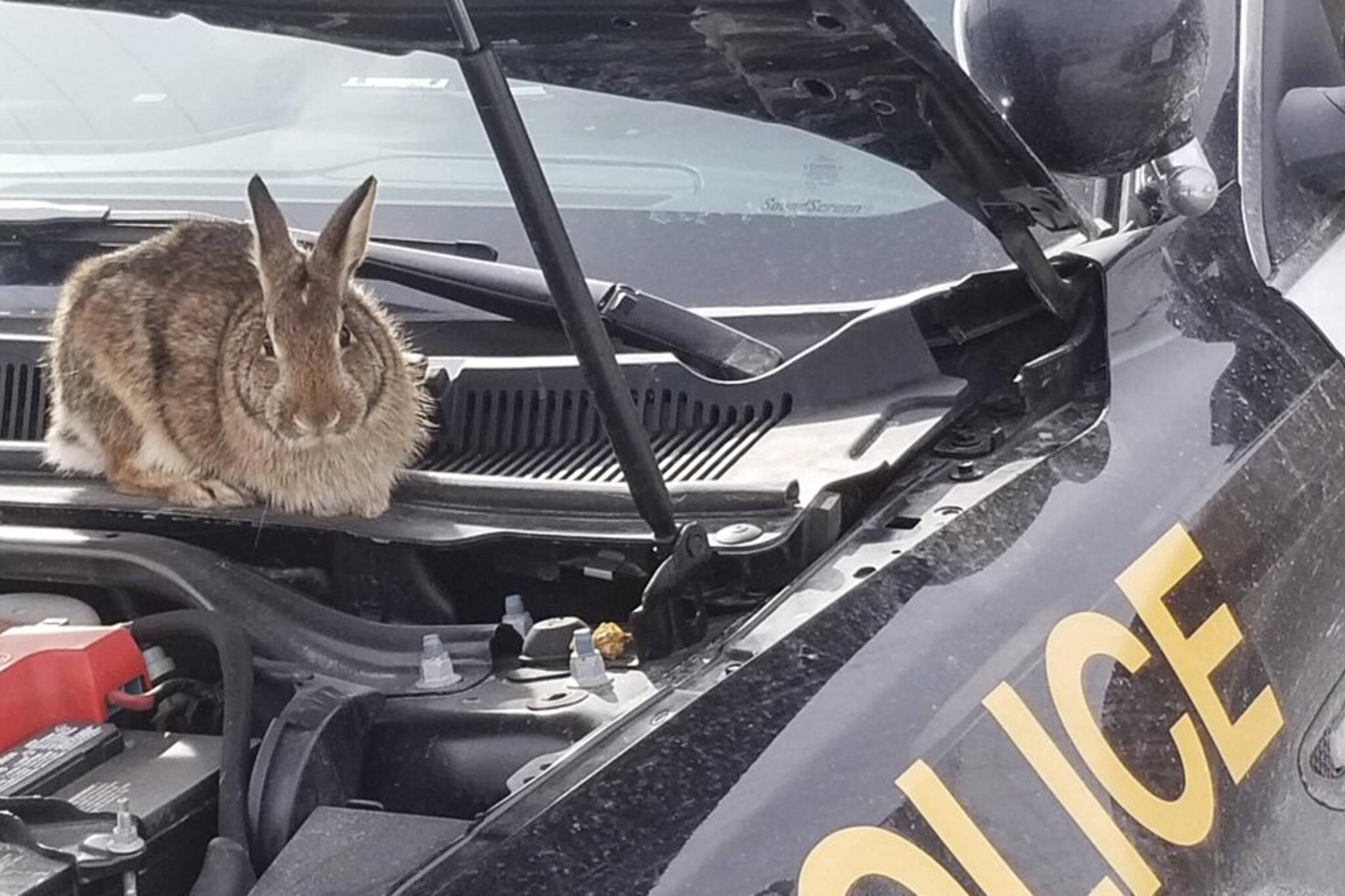 rabbit under hood