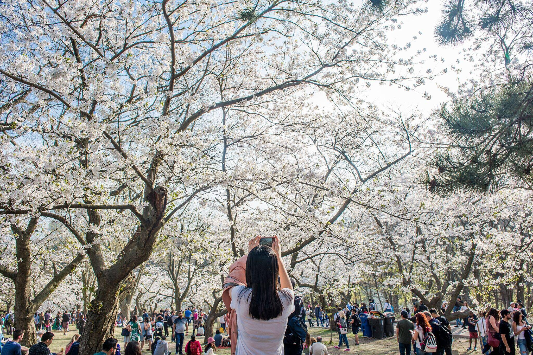 high park cherry blossoms 2019