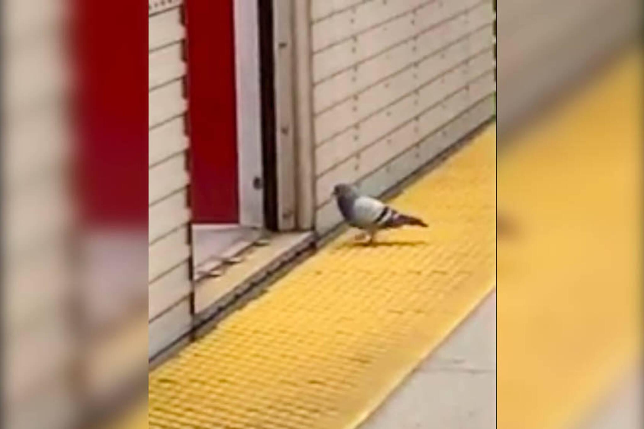 Toronto pigeon subway