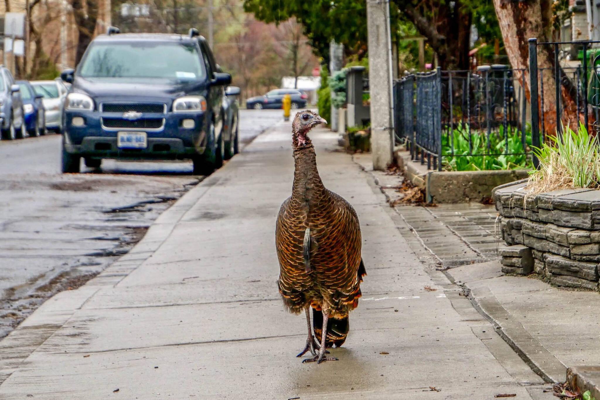 wild turkey toronto