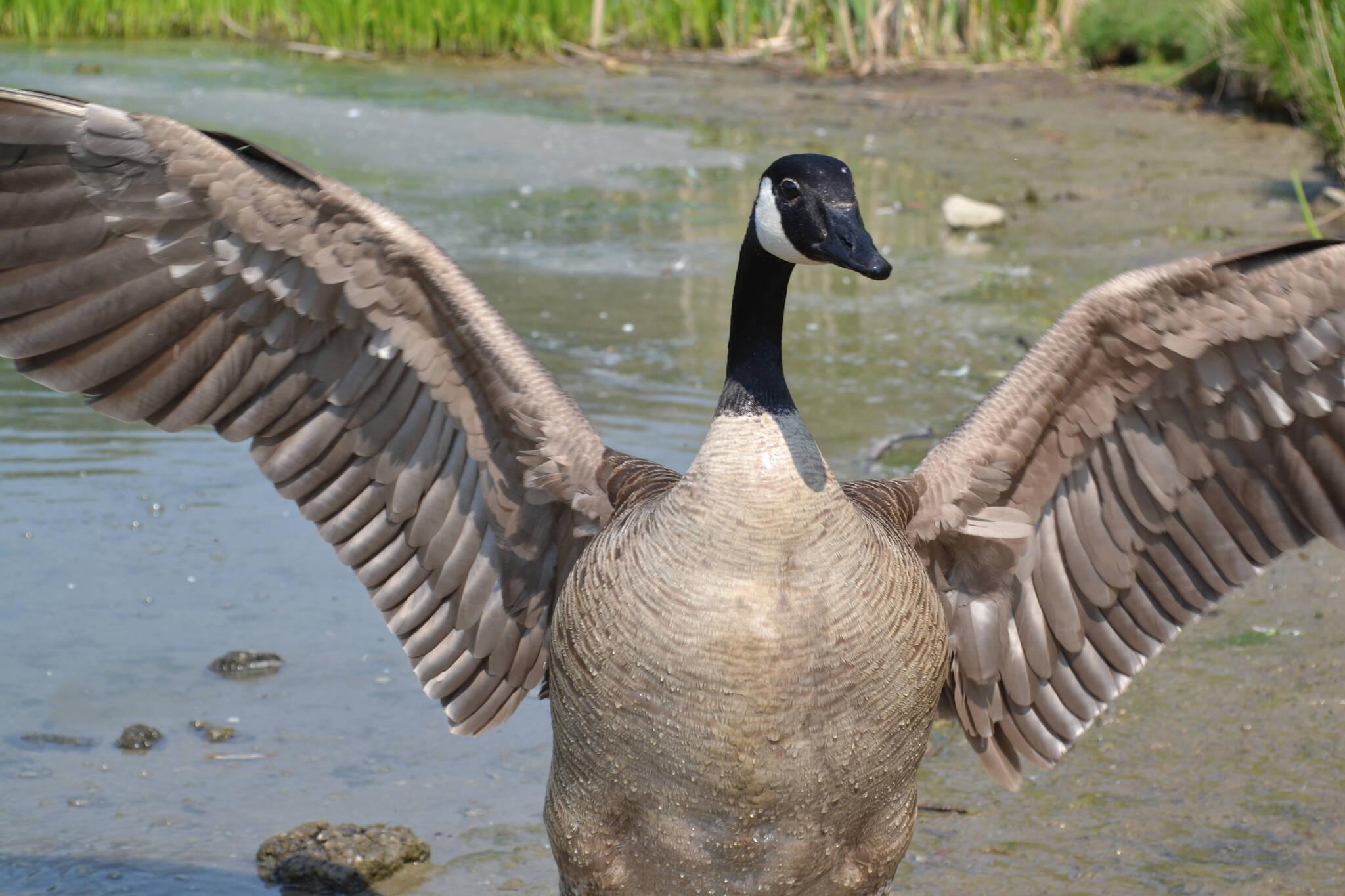 canada goose attacks toronto
