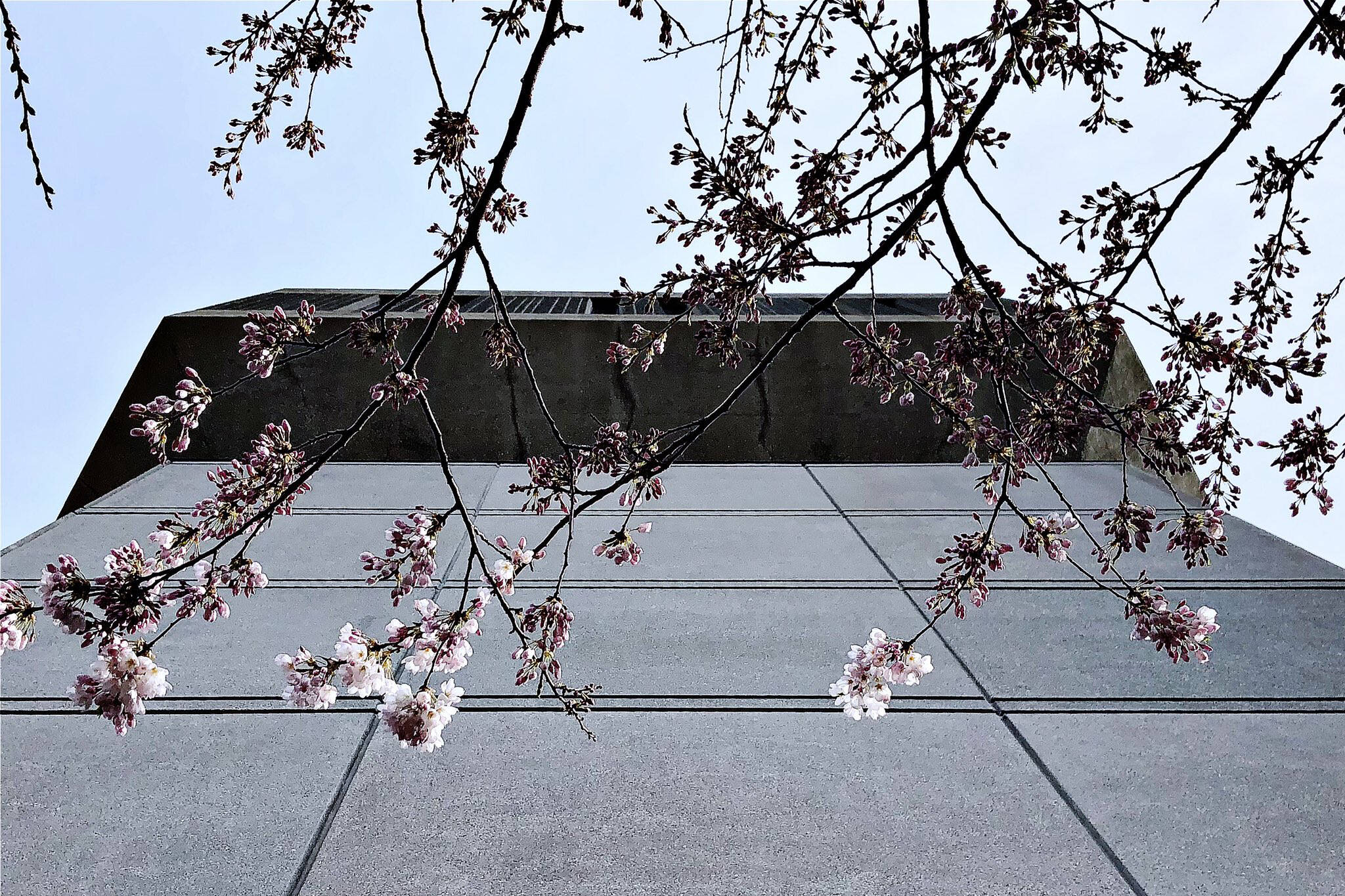 cherry blossoms u of t