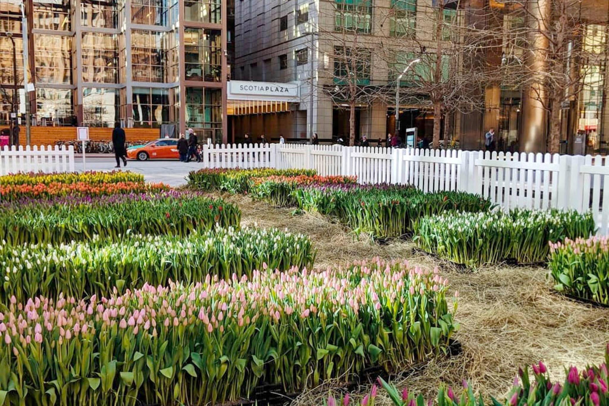 toronto tulips