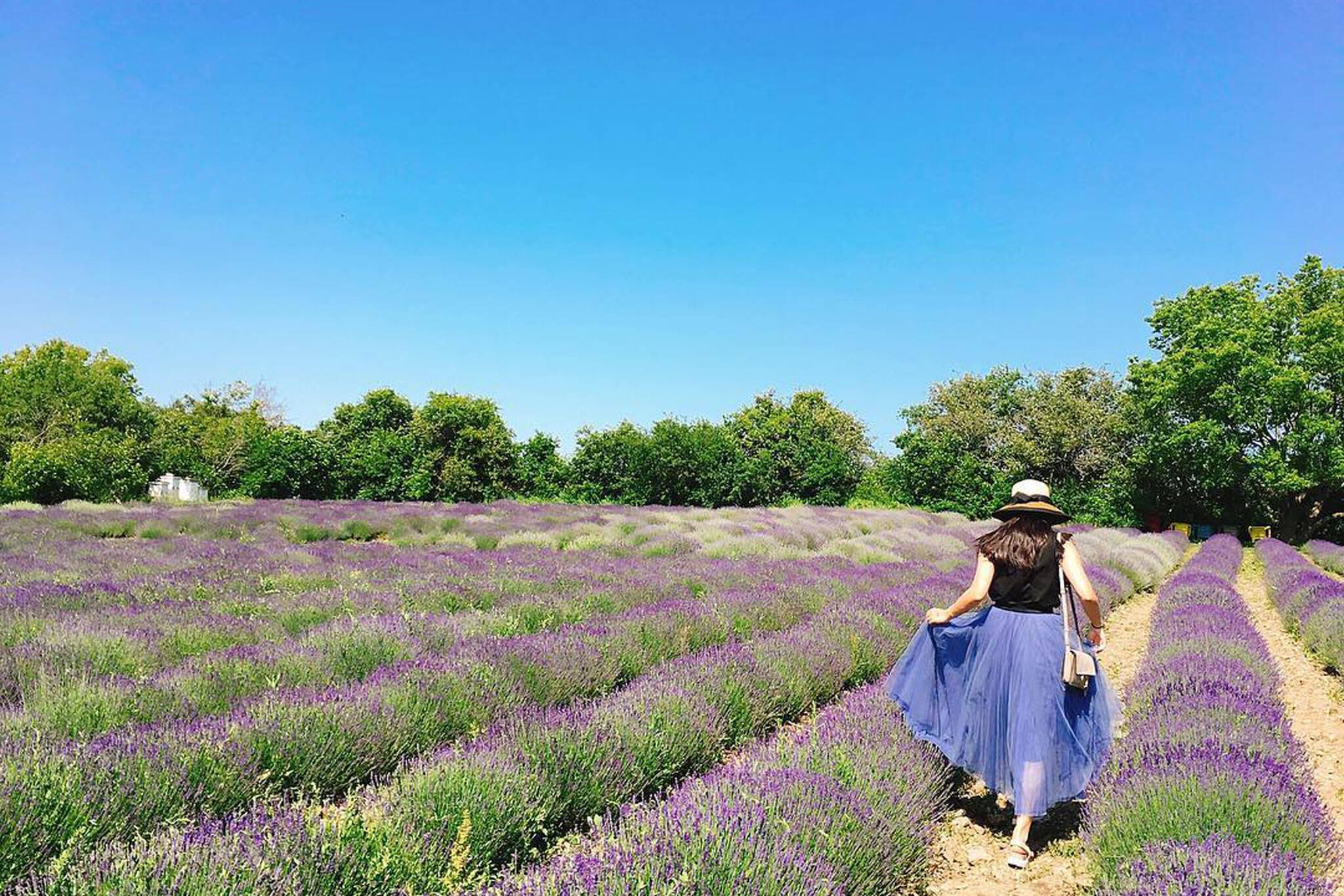 lavender fields toronto