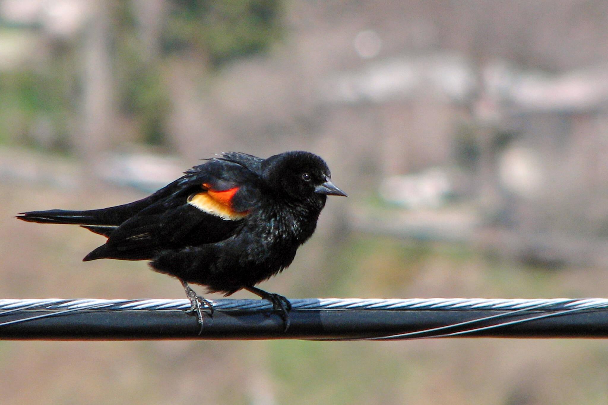red winged black bird toronto